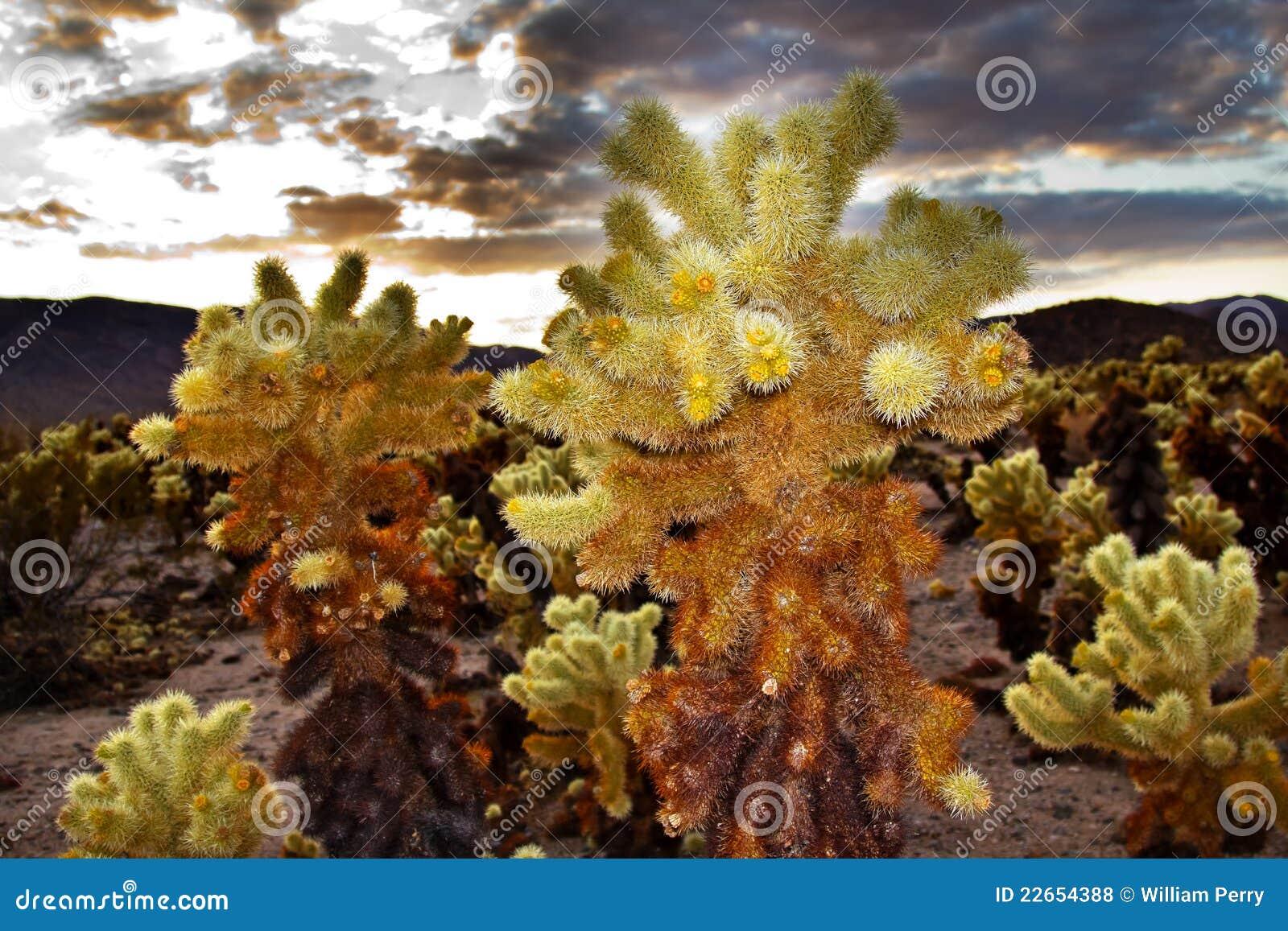 Cholla Cactus Garden Joshua Tree National Park Royalty Free Stock Photos Image 22654388