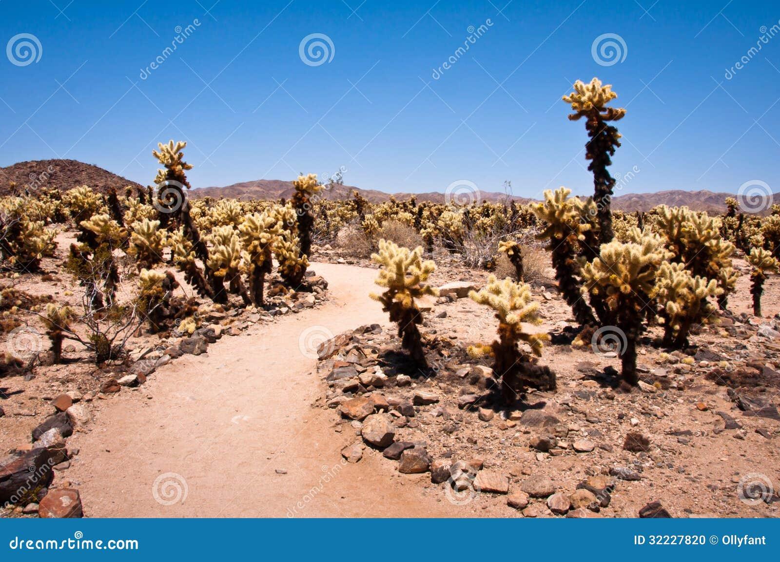 Cholla Cactus Garden Stock Photo Image 32227820