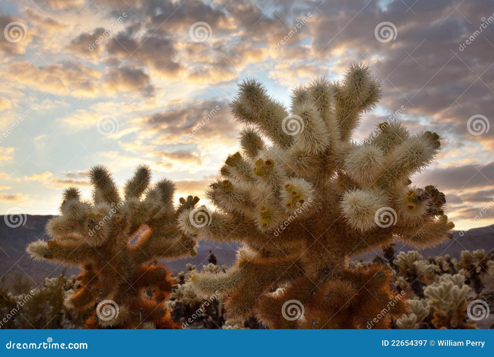 Cholla Cactus Garden Sunset Joshua Tree National P Stock Image ...
