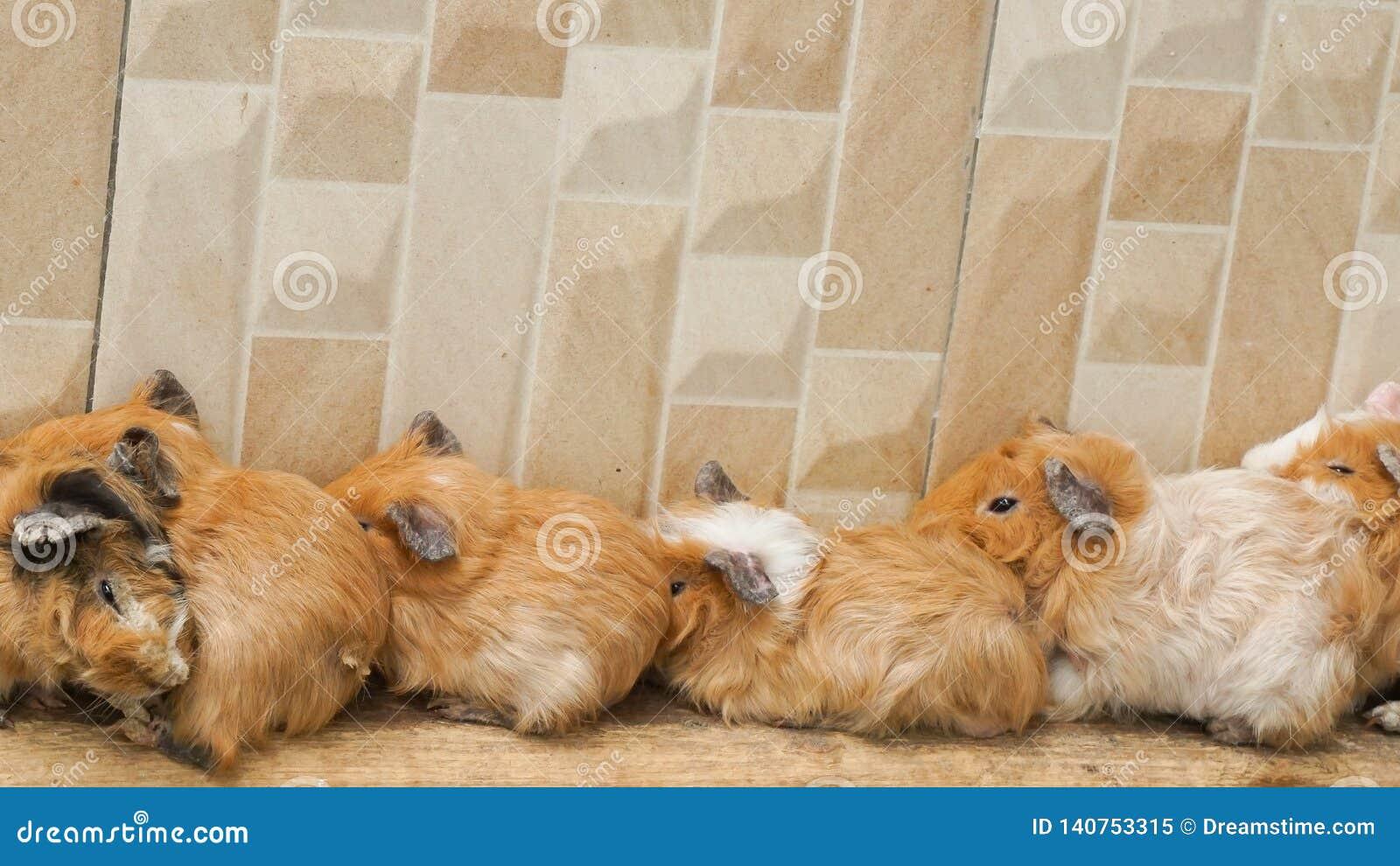 Chomiki śpią wpólnie blisko ściany