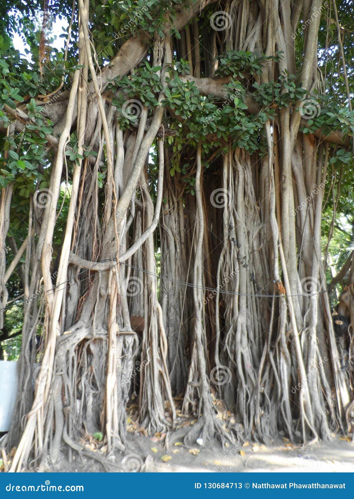 Chorando o figo, árvore do ficus em Banguecoque Tailândia