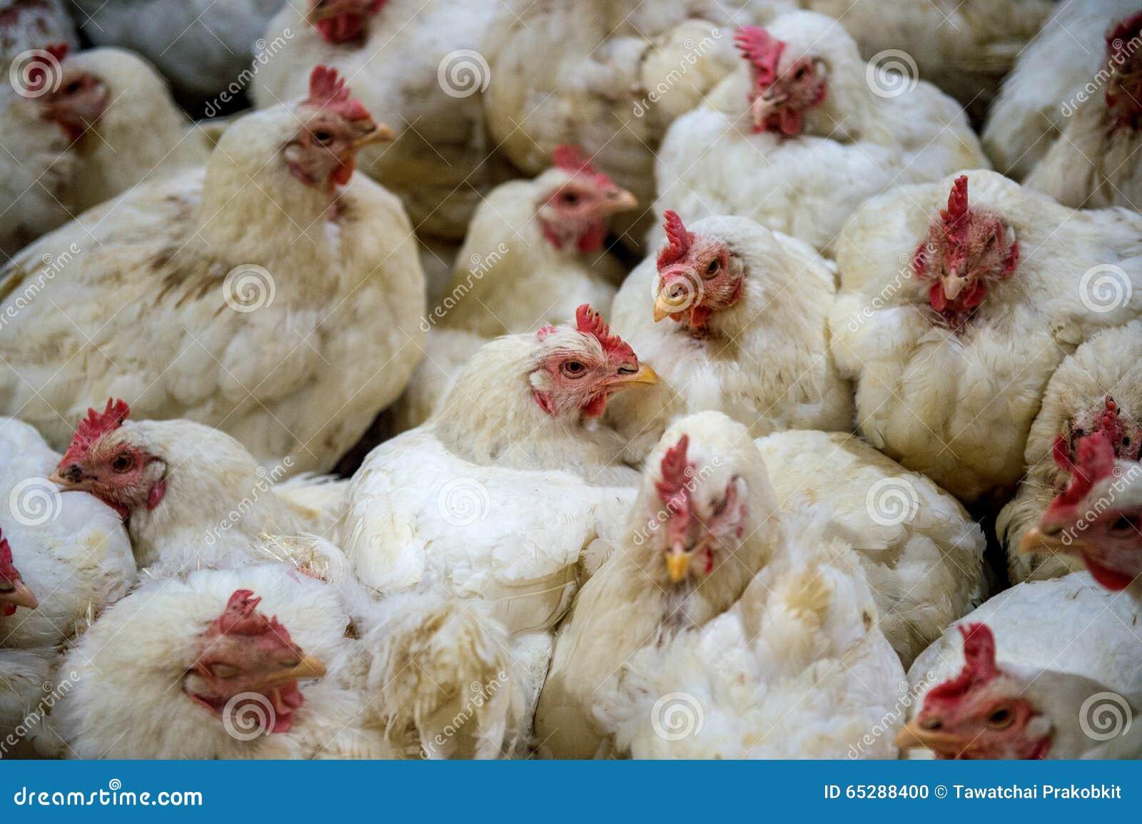 Chory kurczak lub Smutny kurczak w gospodarstwie rolnym, epidemia, ptasia grypa