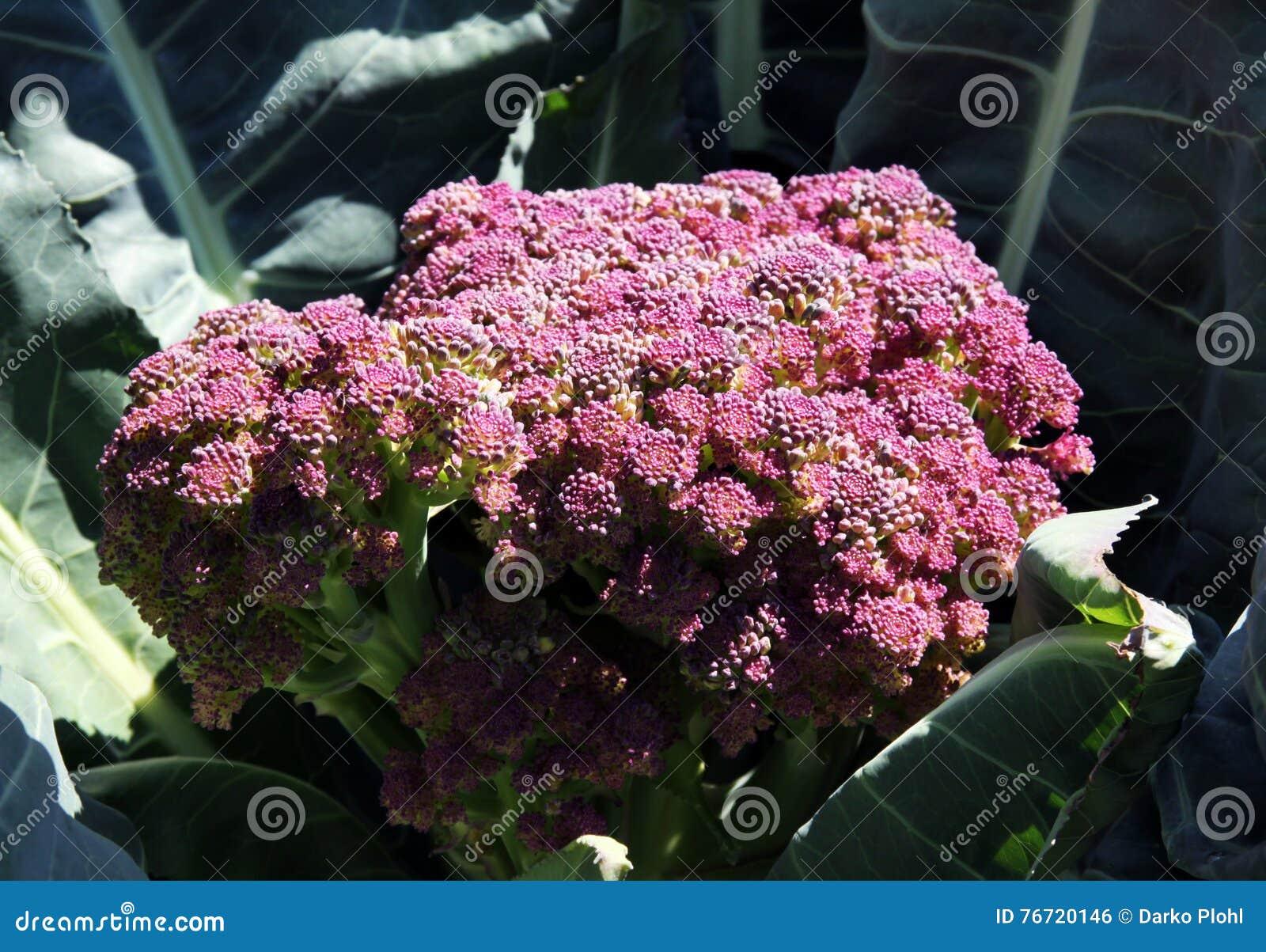 Chou Fleur De Violetta Di Sicilia Photo Stock Image Du Familier
