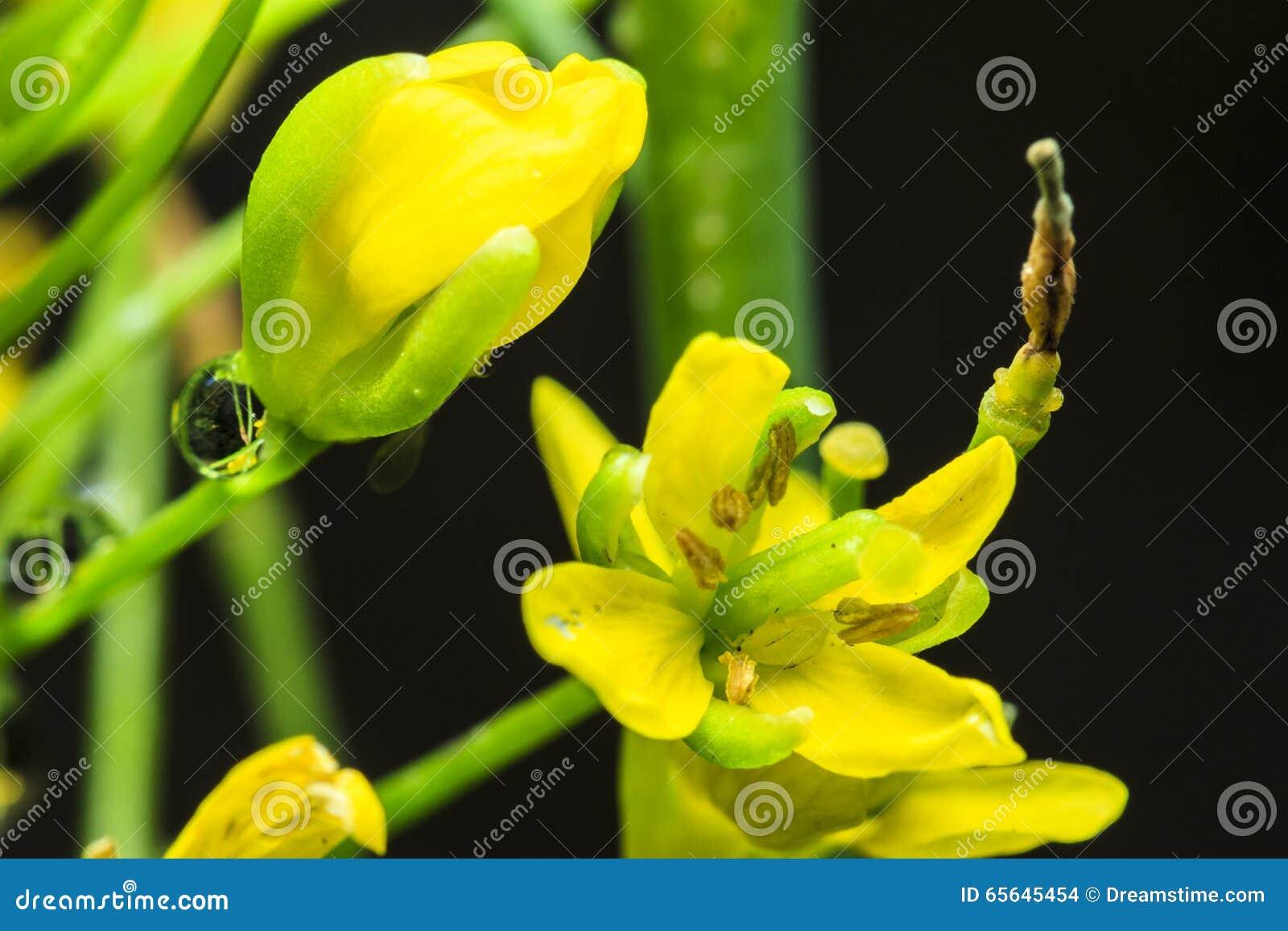 Chou fleurissant