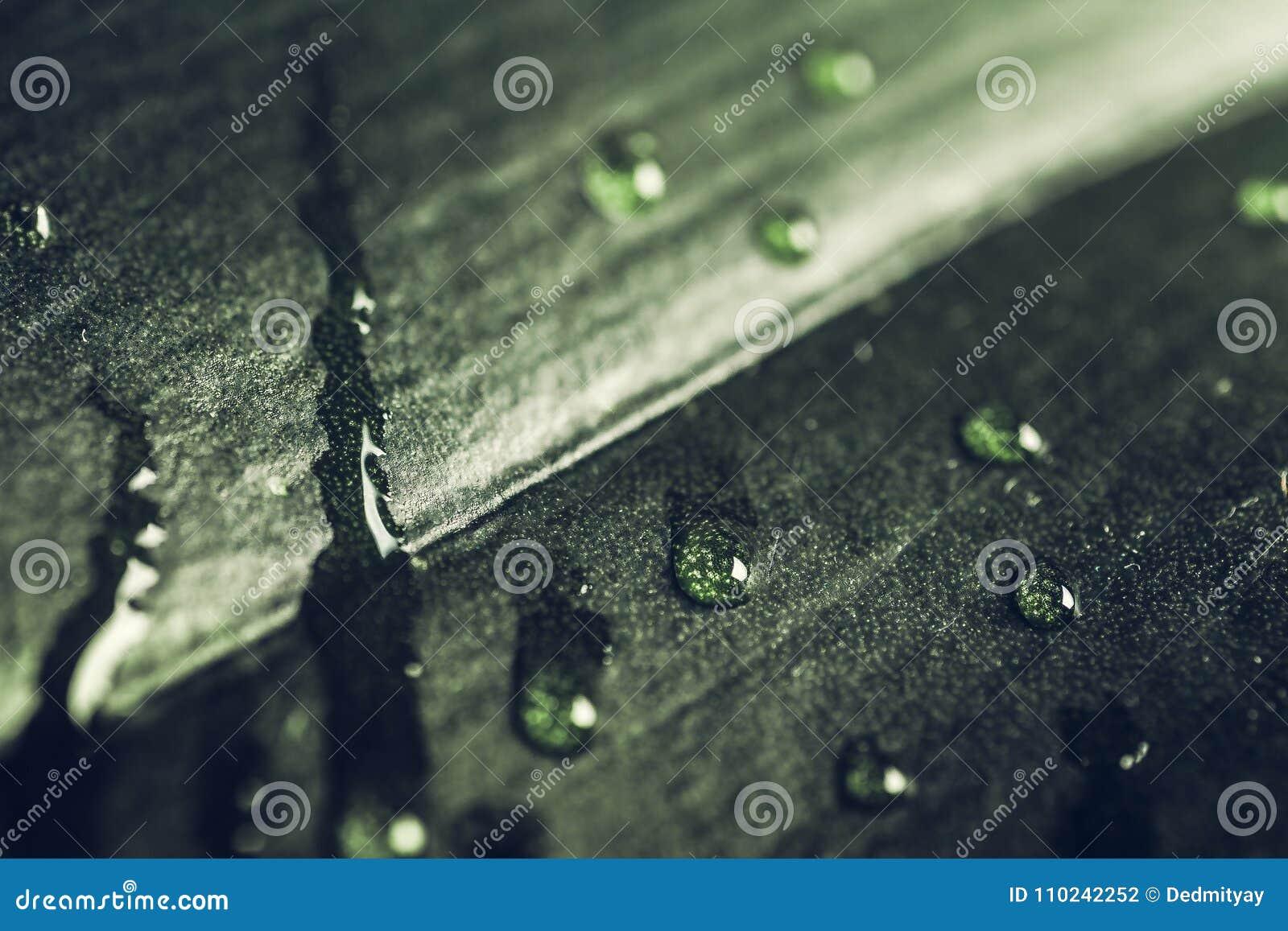 Chova gotas na obscuridade - folha verde, tiro macro Fundo tranquilo da flora da natureza da mola