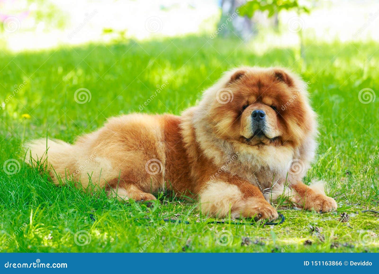Chow φυλής σκυλιών chow
