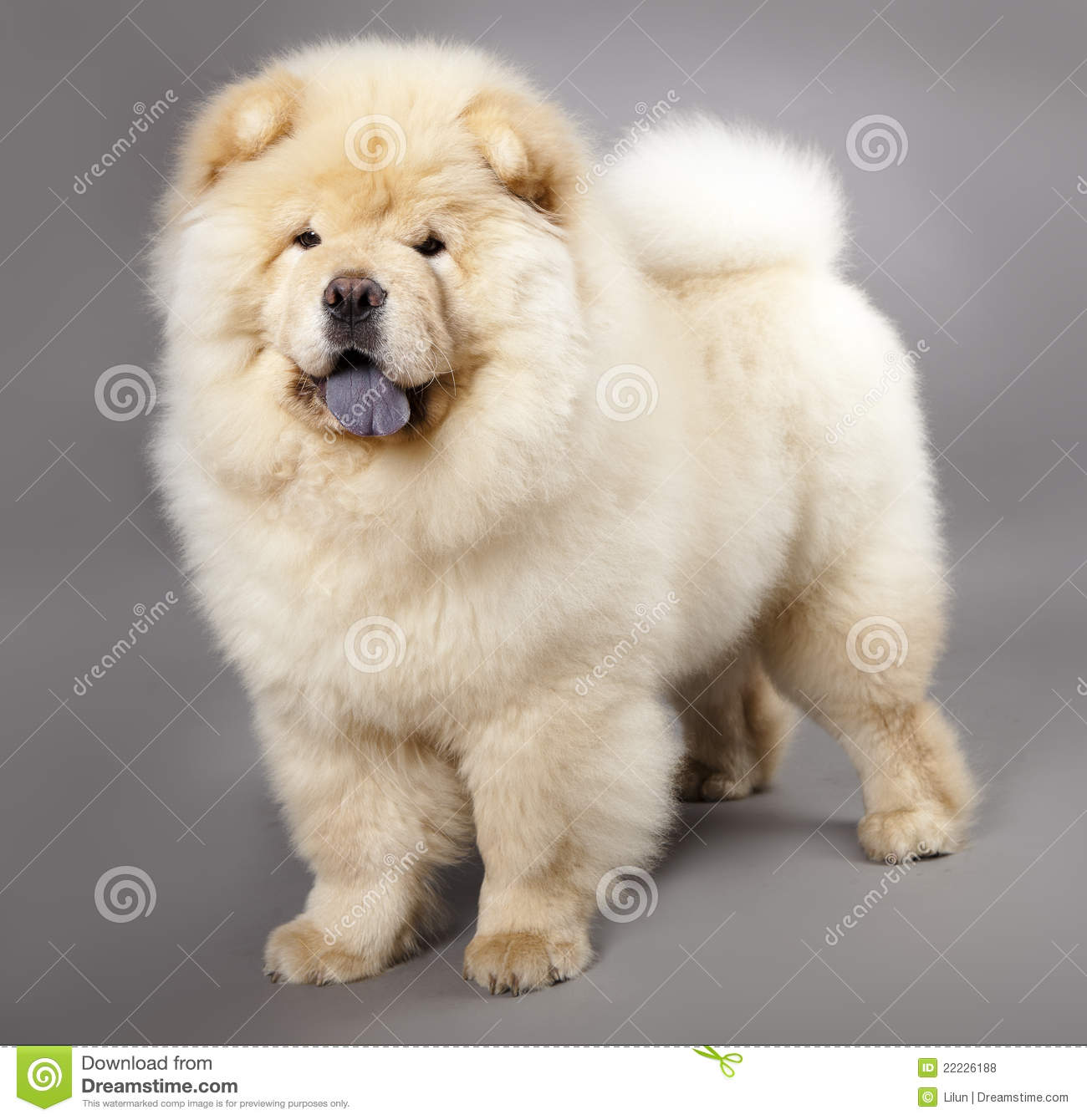 Chow Chow Dog Breed Prices