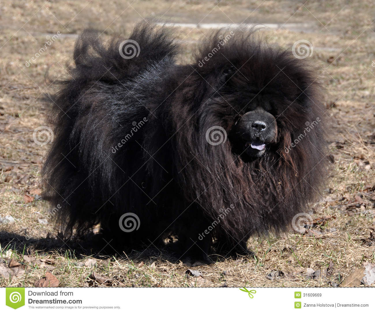 Chow Chow Black Royalty Free Stock Images Image 31609669