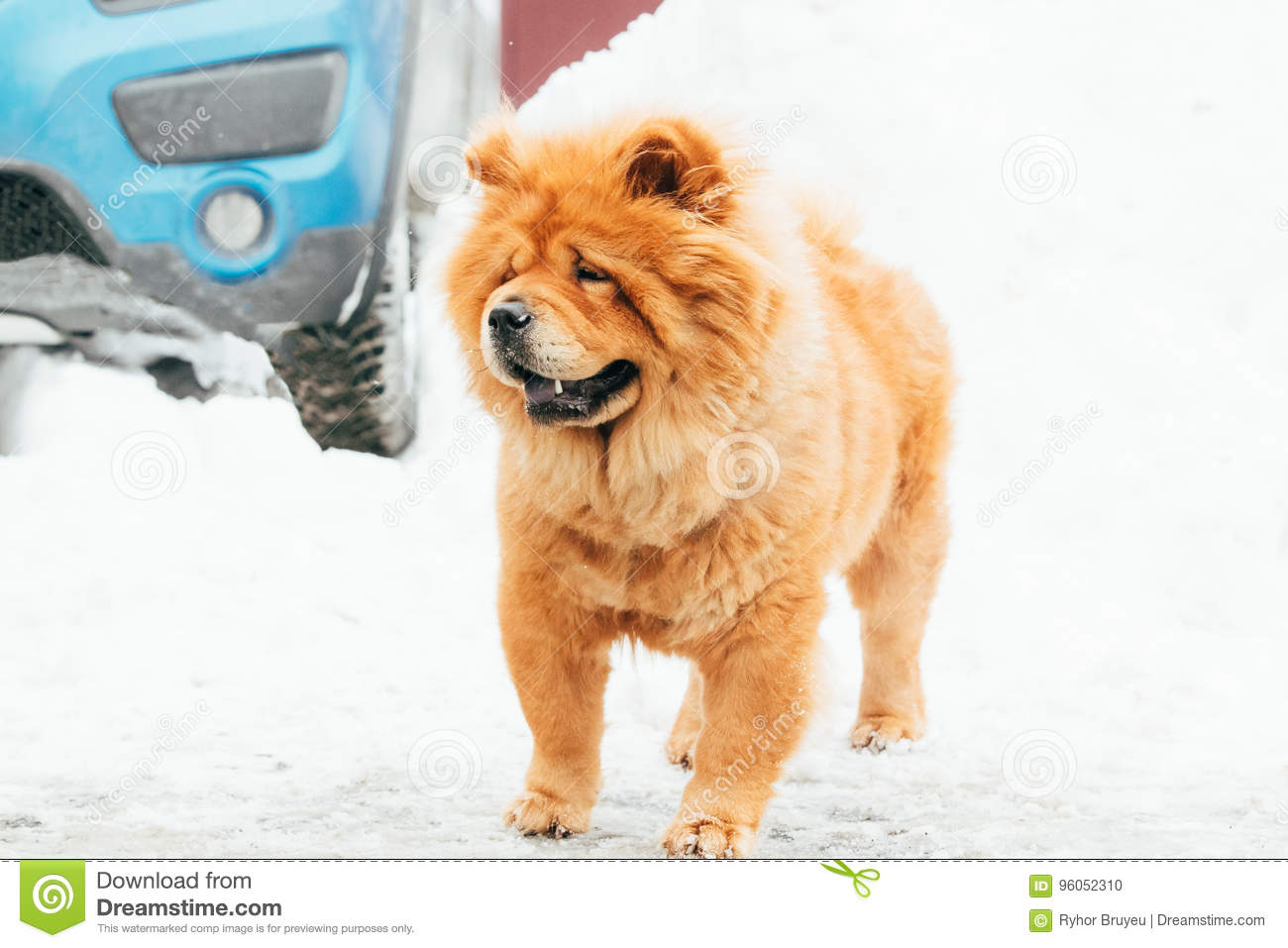 Chow Chow Dog Standing In Snow au jour d hiver