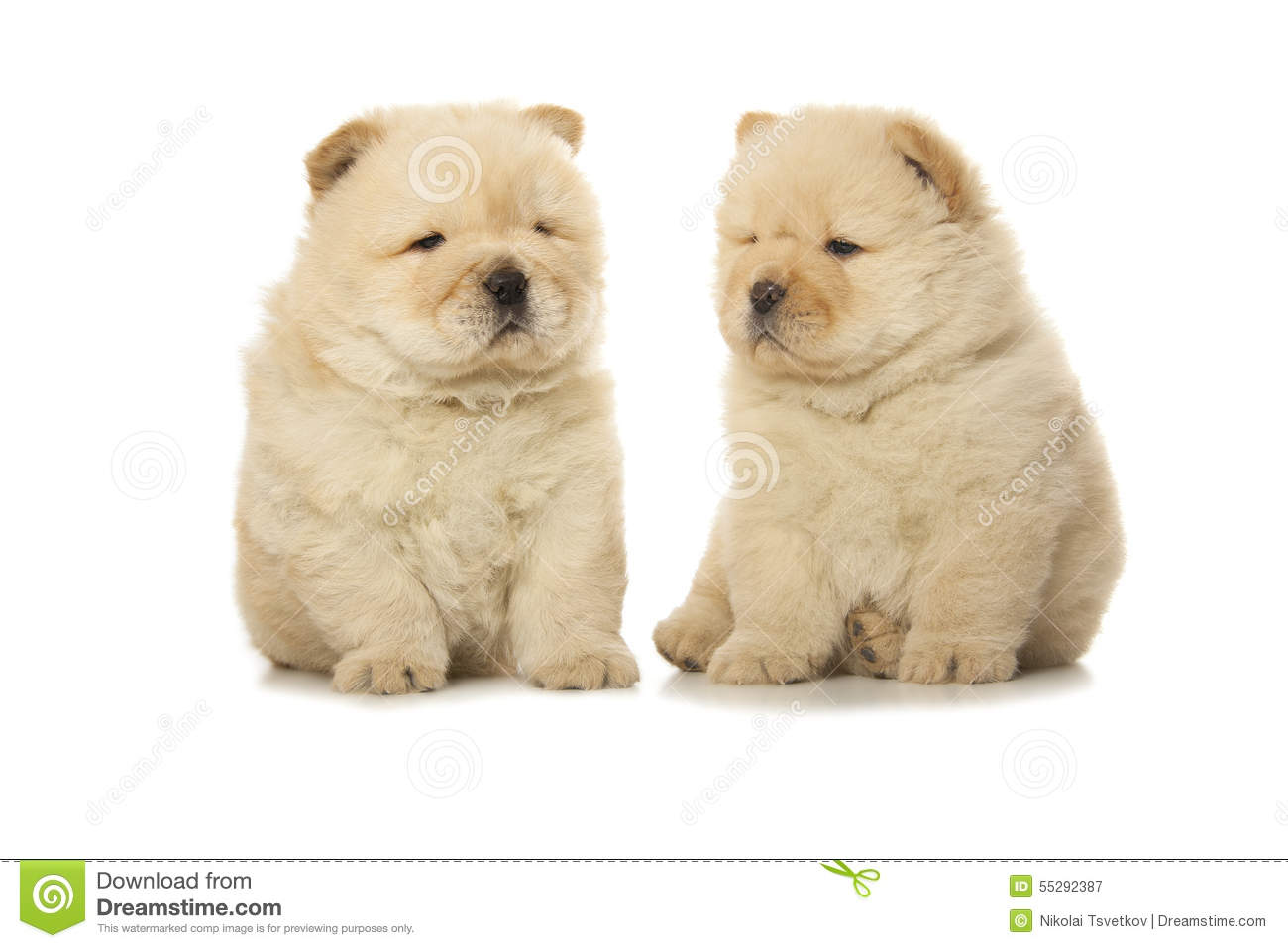 Chow Chow Puppies Stock Image Image Of Puppy White 55292387