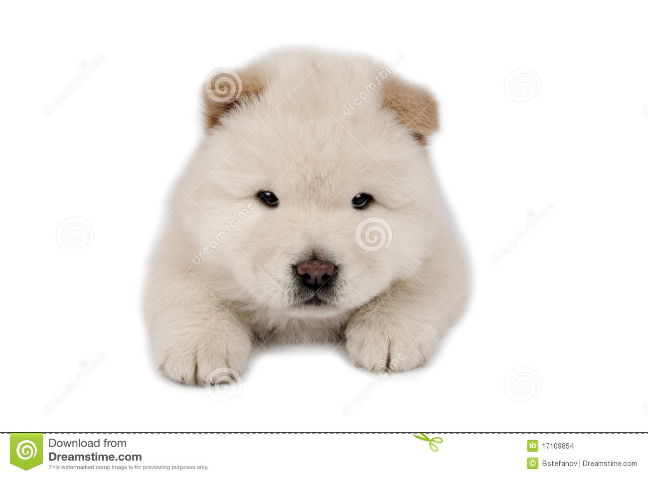 chow-chow puppy stock photo  image of mammal  cute  fluffy