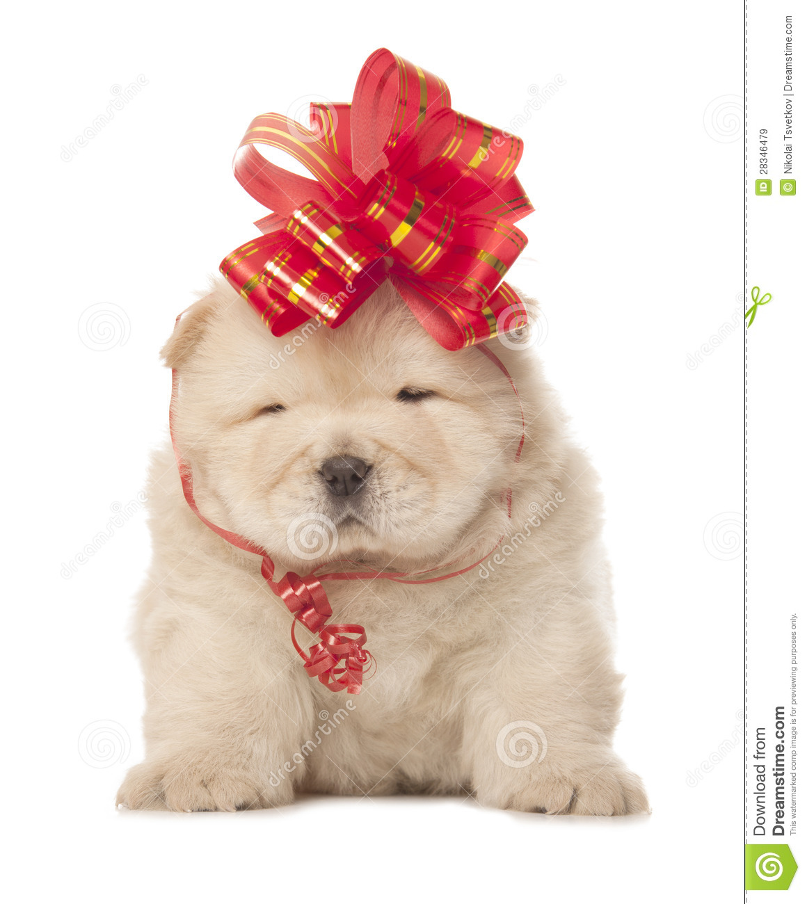 Chow-chow Puppy With Big Red Bow Stock Image - Image of