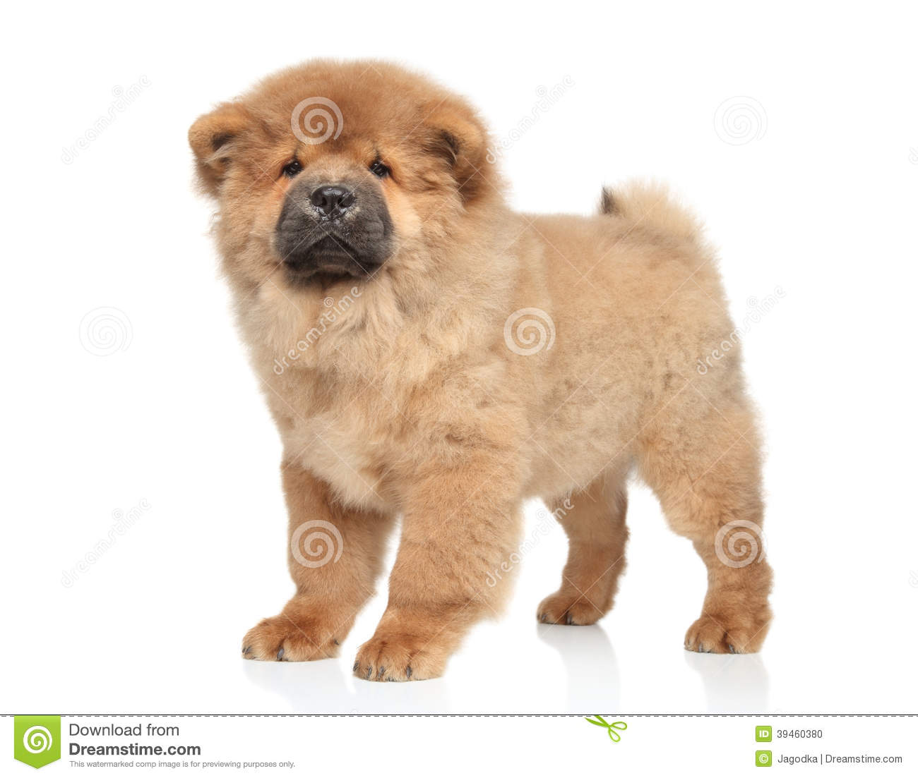 Chow chow puppy stock photo  Image of studio, china, furry