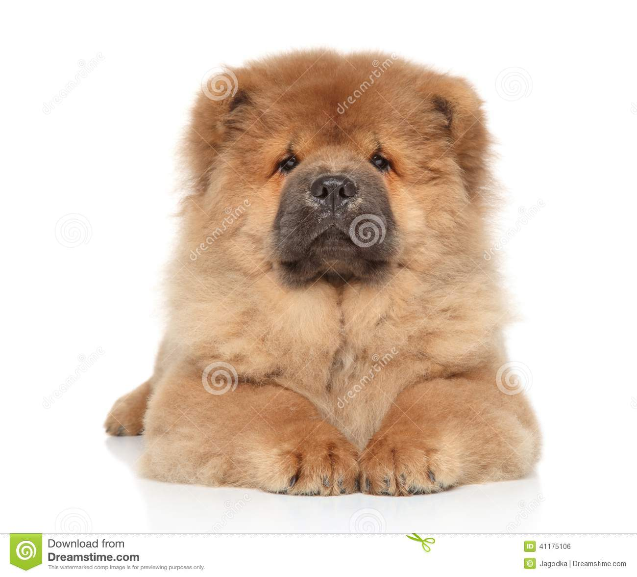 Chow Chow Puppy On A White Background Stock Photo Image Of Chinese