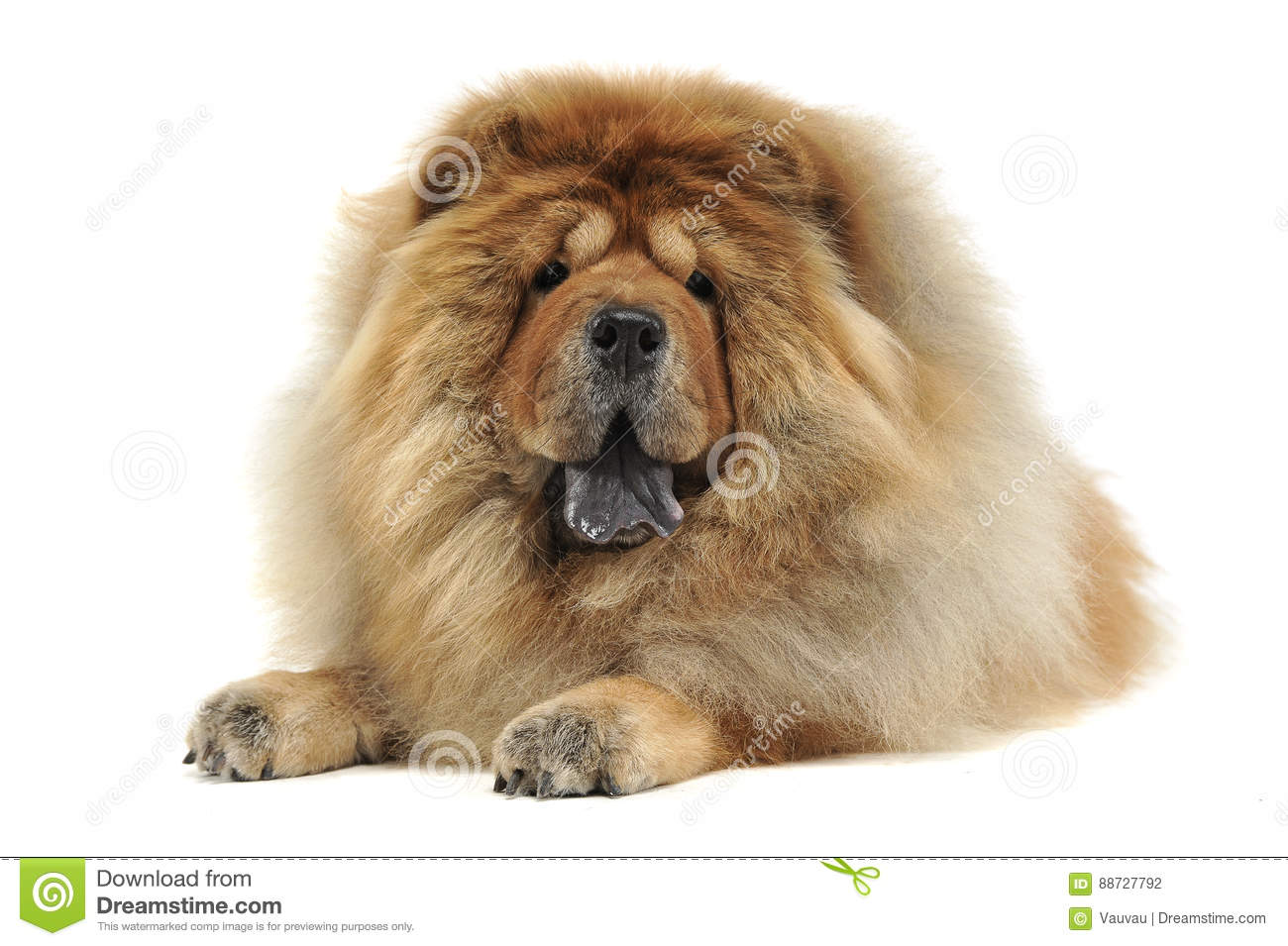 Chow chow relaxing in a white background studio