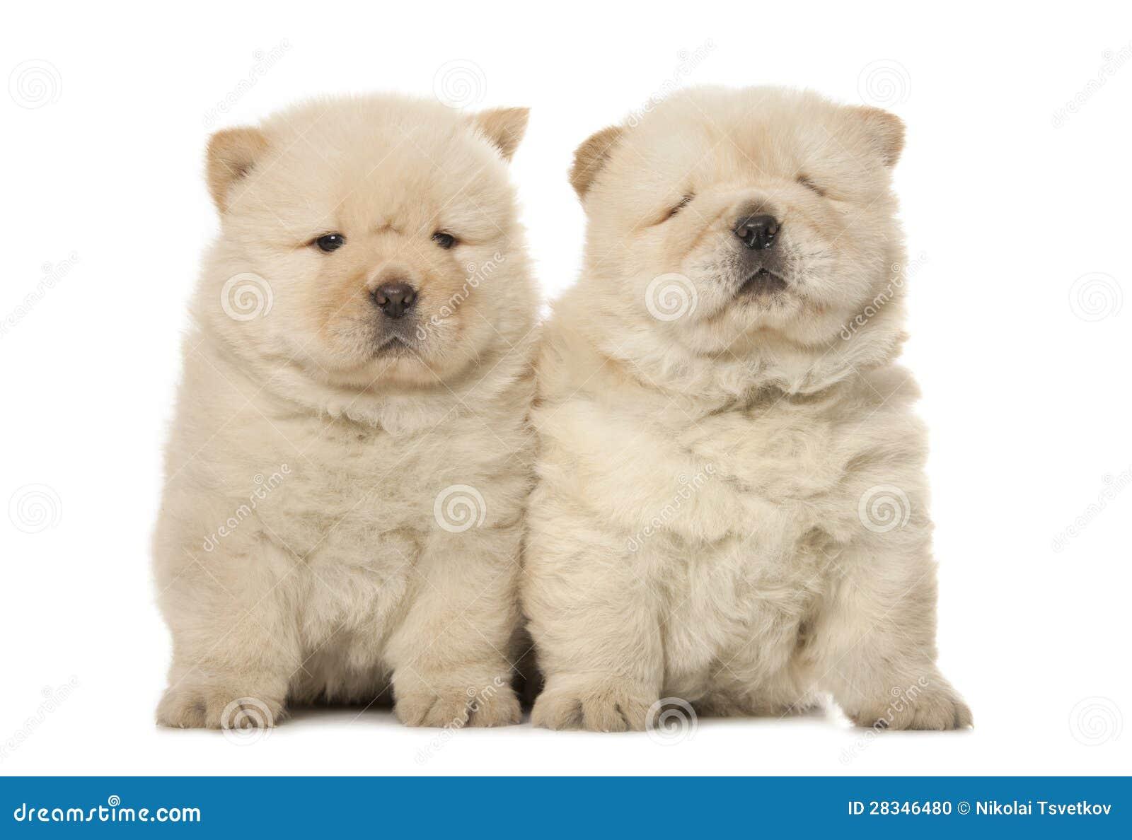 Chow-Chow Welpen Stockfoto - Bild: 28346480