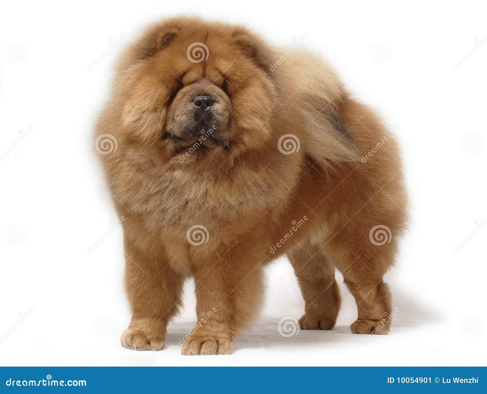 Chow psa zwierzę domowe