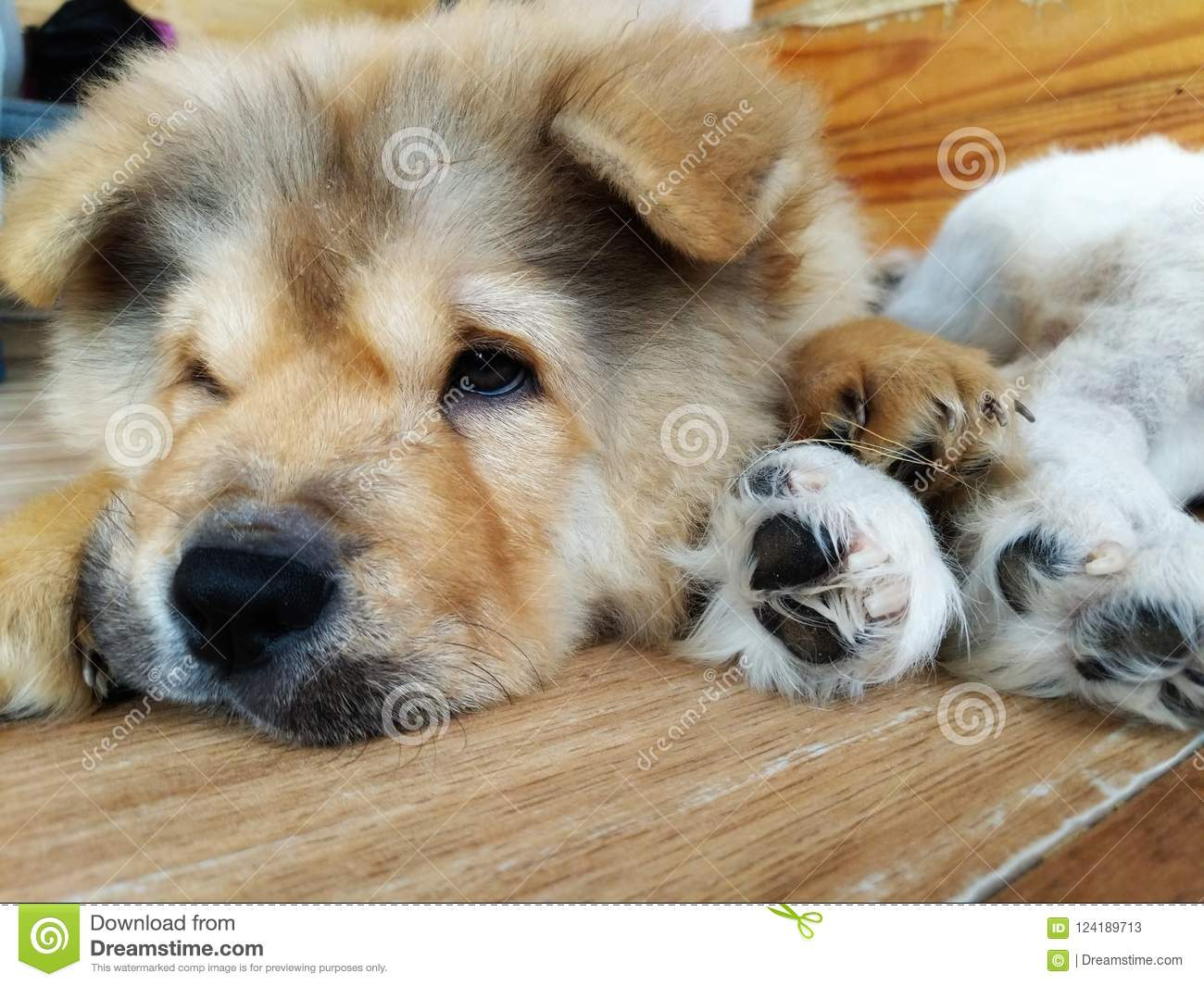 Adorable Chow Chow Puppy Stock Image Image Of Puppies 124189713