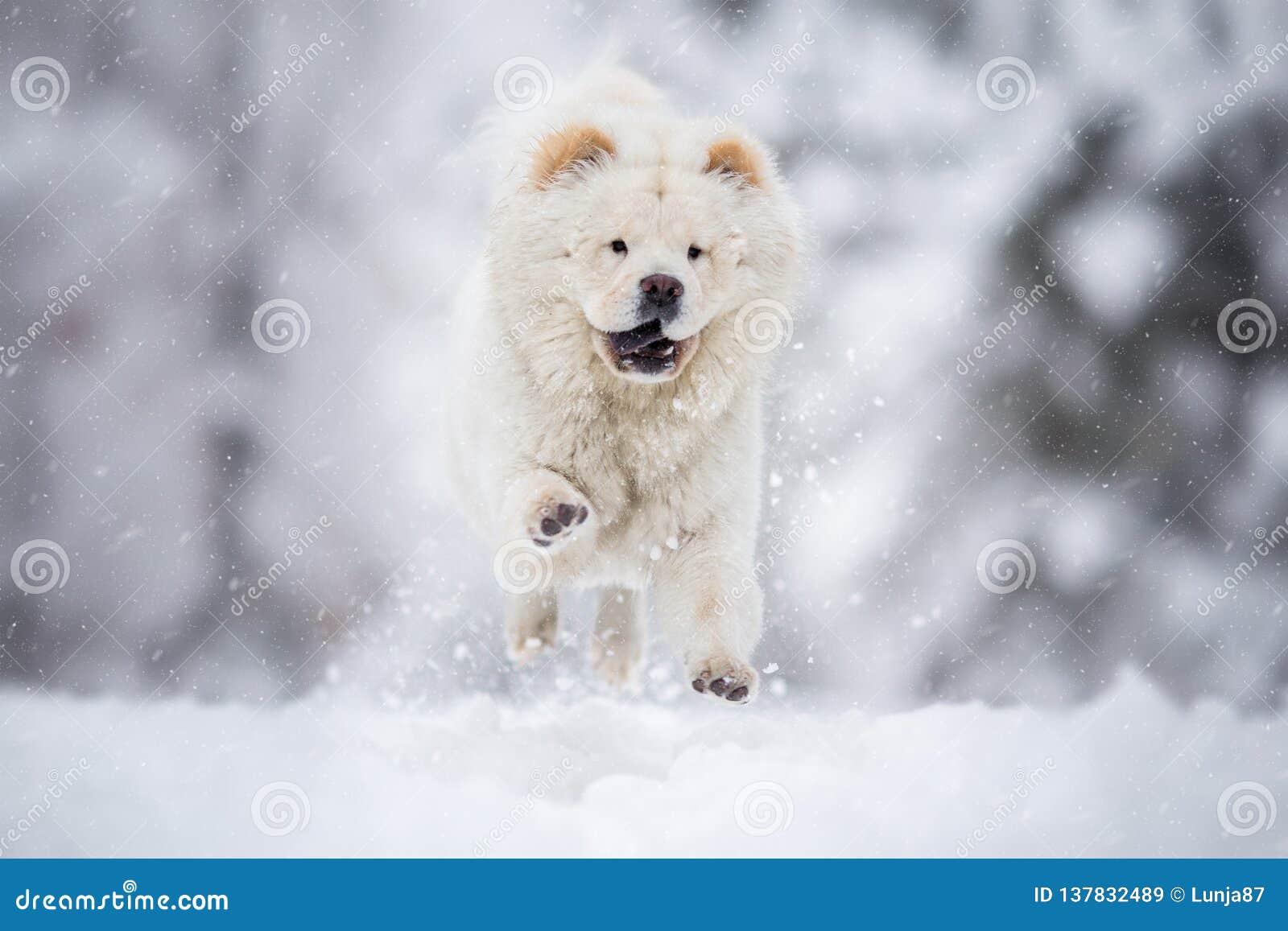 Chow Chow Running sur la neige d hiver