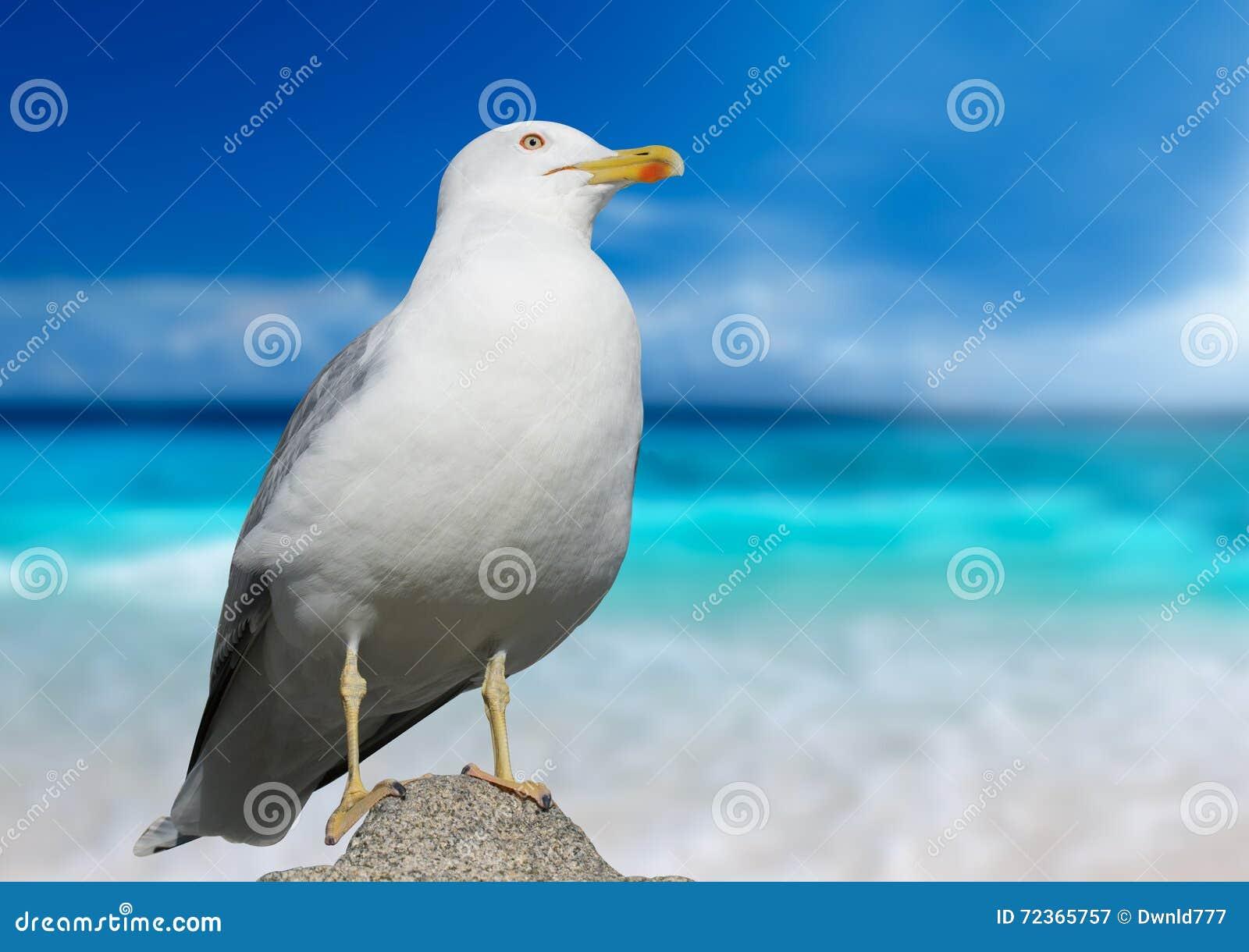 Christi特写镜头语科库拍摄了海鸥南得克萨斯美国