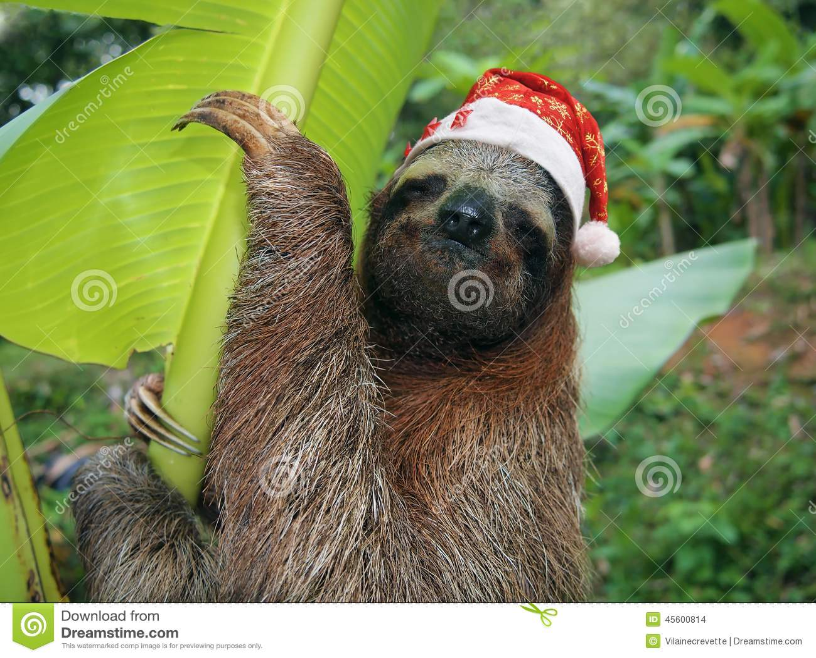 Christmas Animal Sloth Wearing A Santa Hat Stock Photo - Image ...