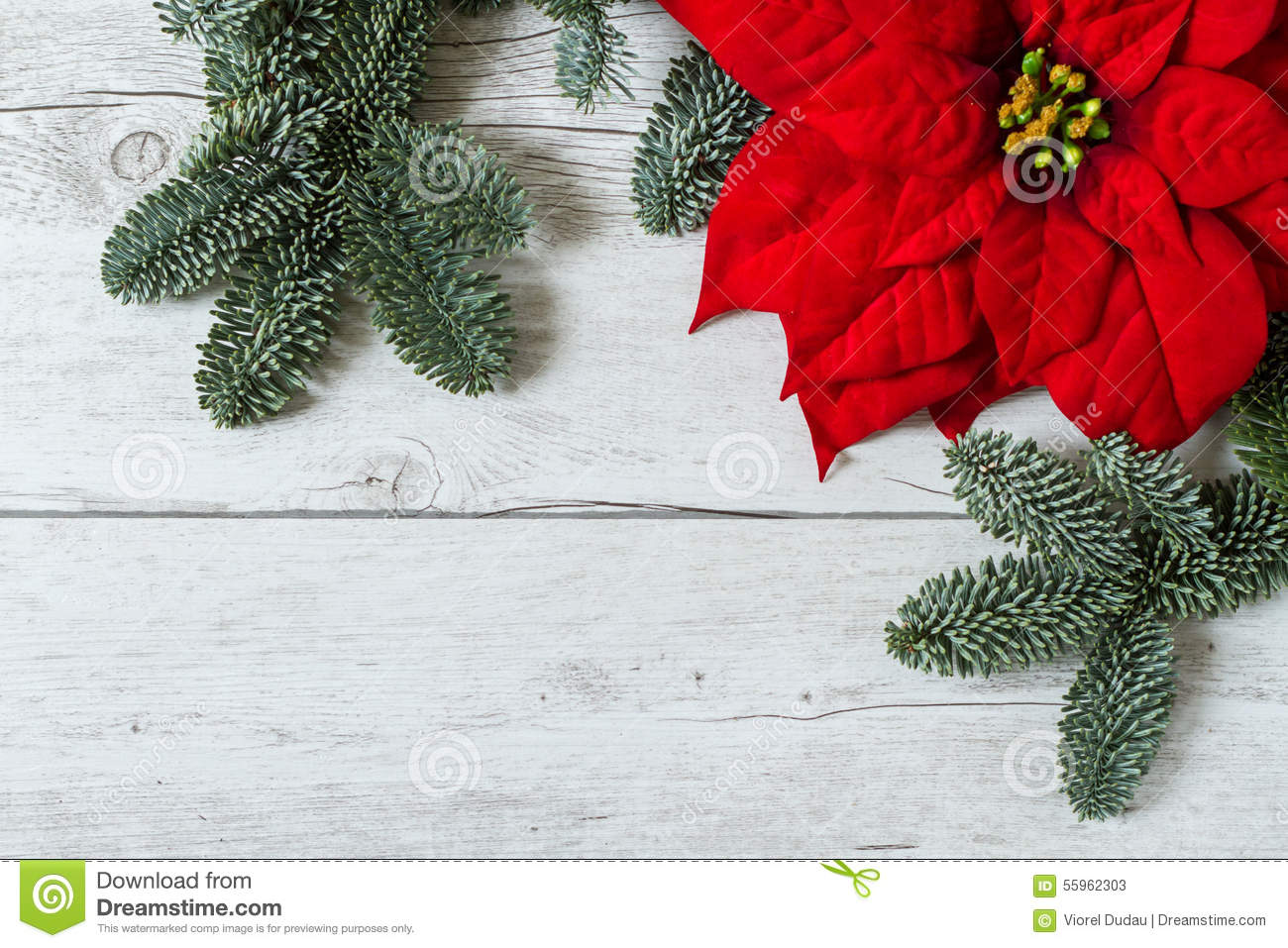 Christmas Background With Poinsettia And Fir Tree Branches