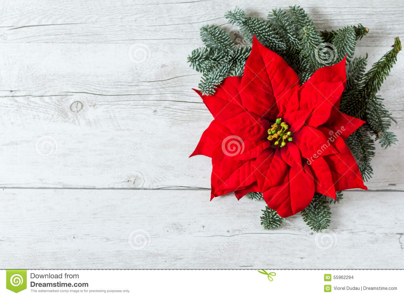 Christmas background with Poinsettia star flower