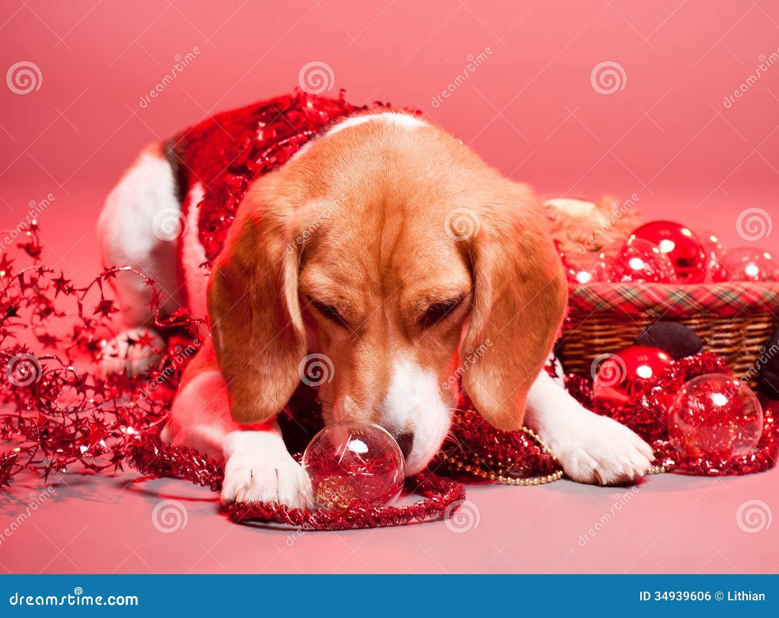 Pocket Beagle Beagle Pocket Beagles Usa Dog Breed Info Center To | Dog ...