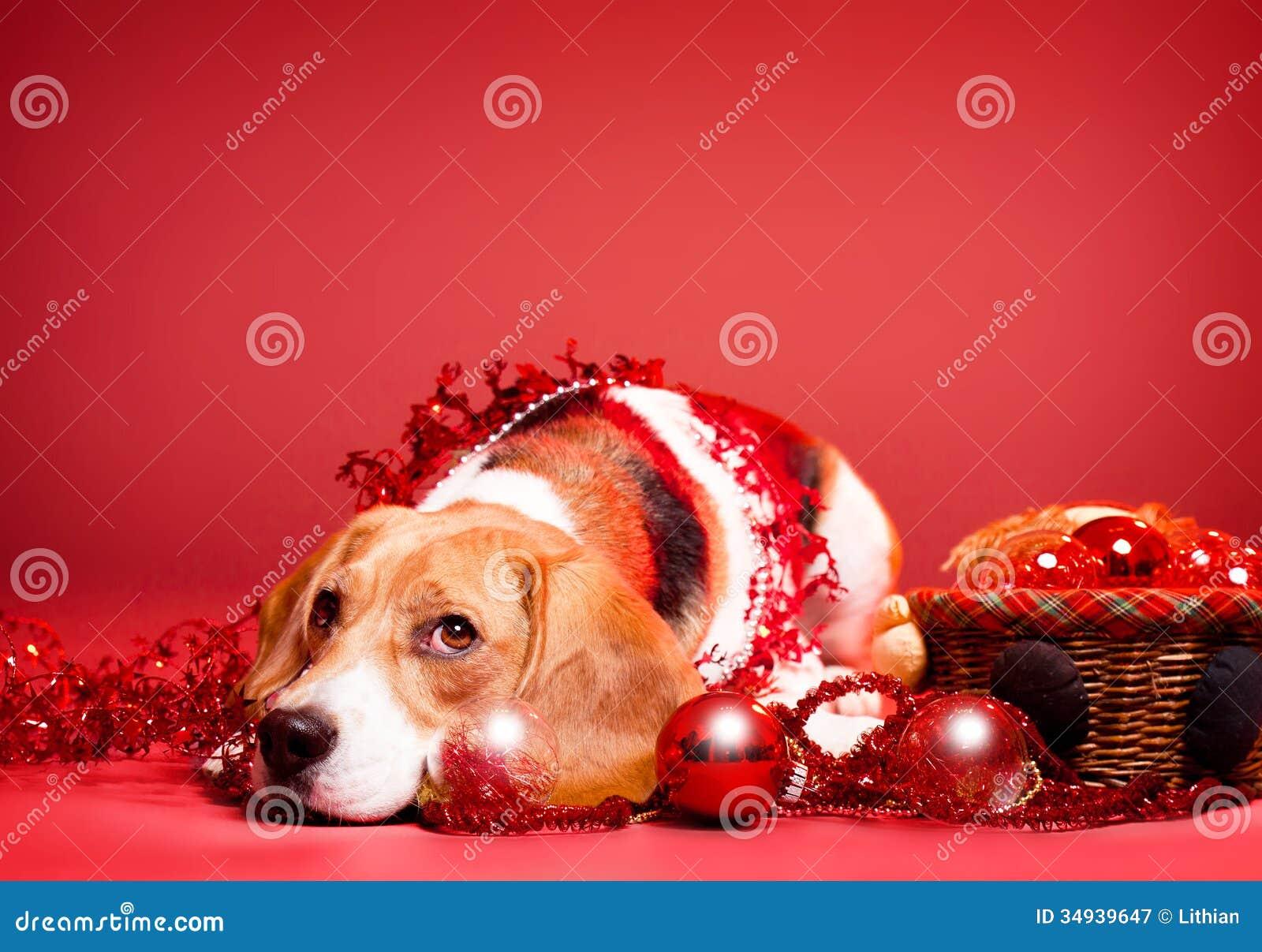 Beagle Christmas Gifts on Zazzle