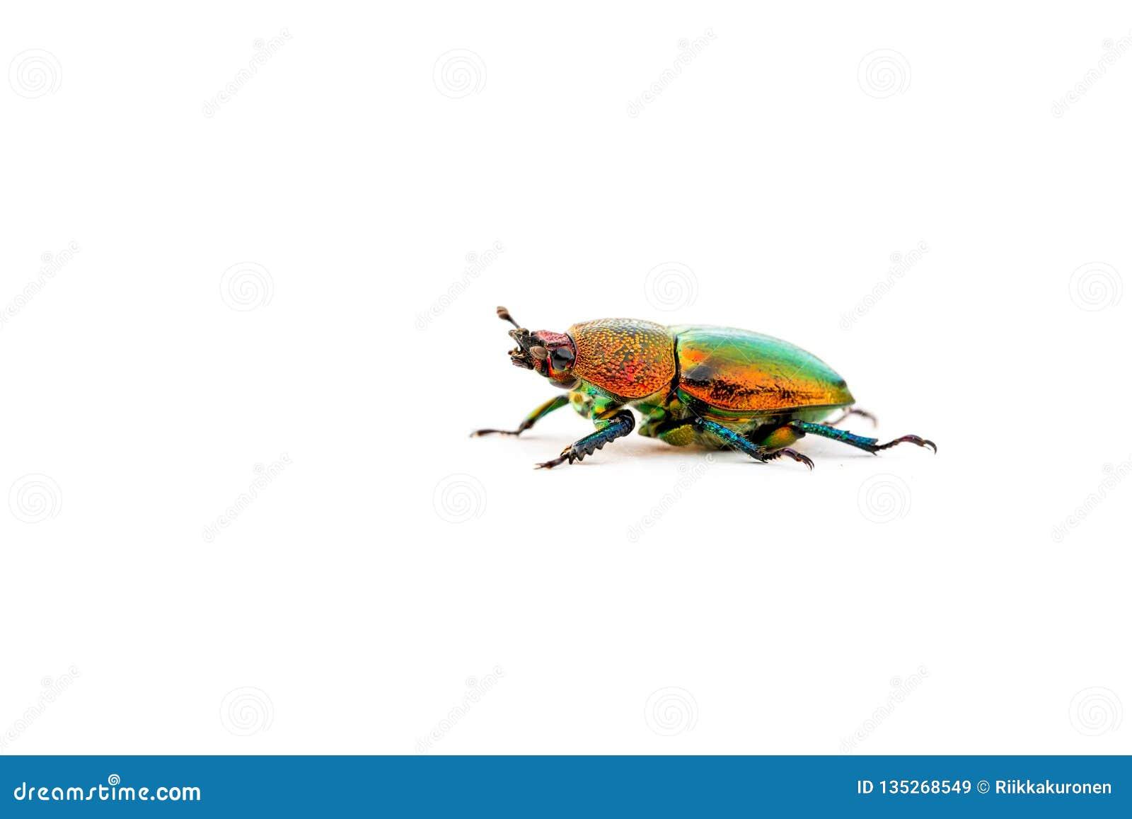 Christmas Beetle.Christmas Beetle Scarabaeidae Isolated On White Background