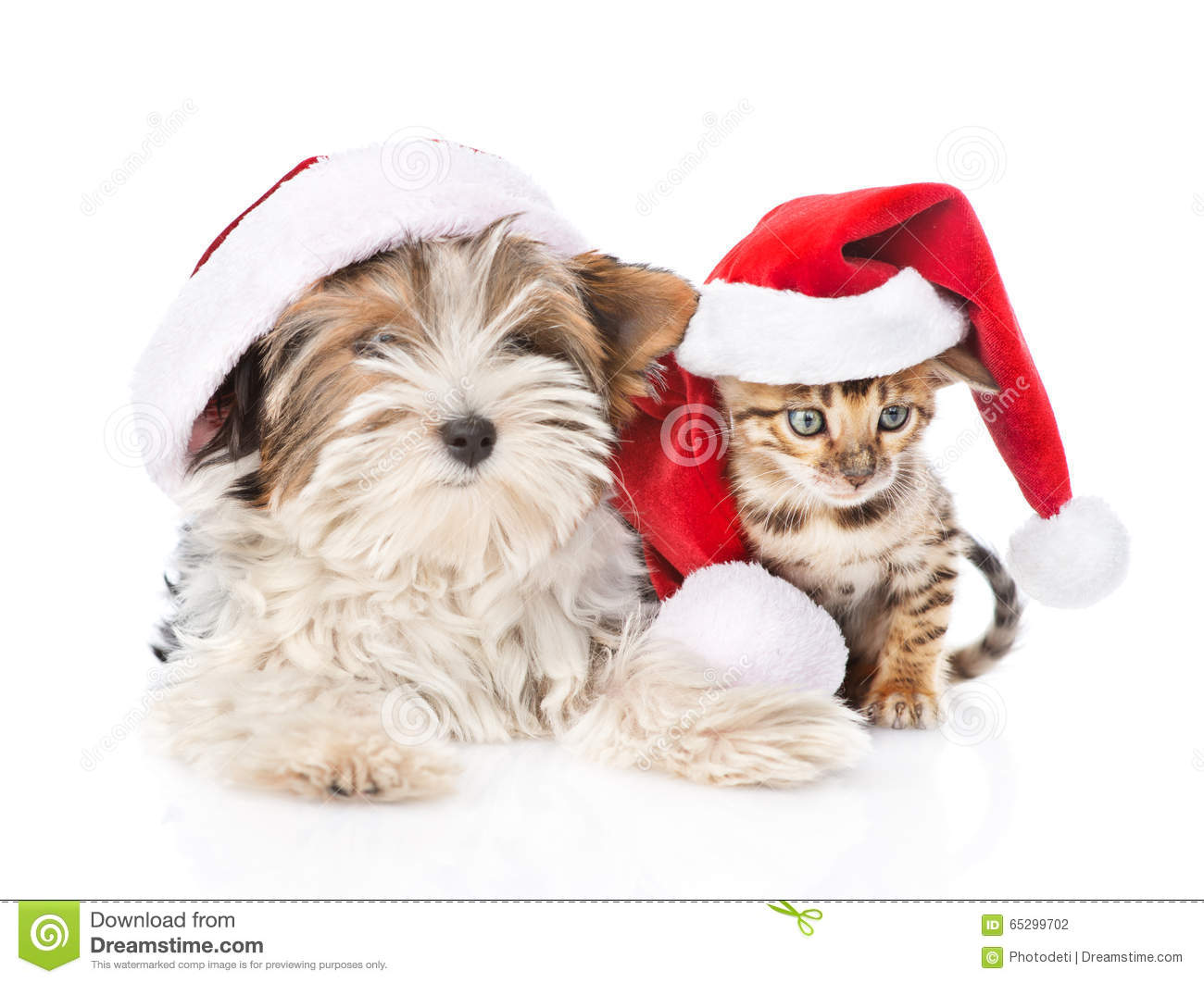Christmas Bengal cat and Biewer-Yorkshire terrier puppy in red santa hat on white