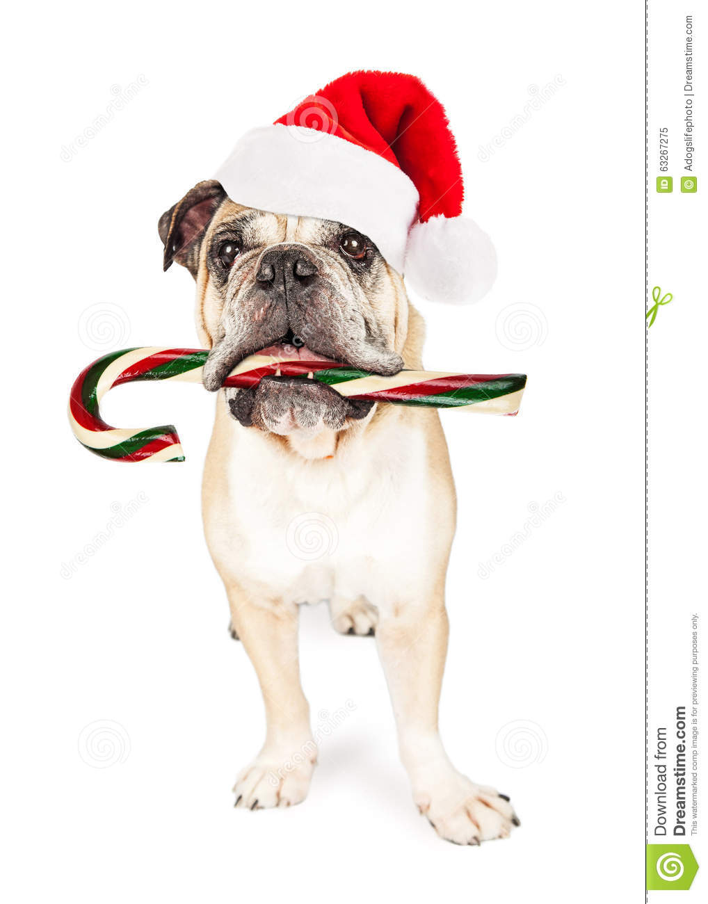 funny christmas bulldog - photo #16
