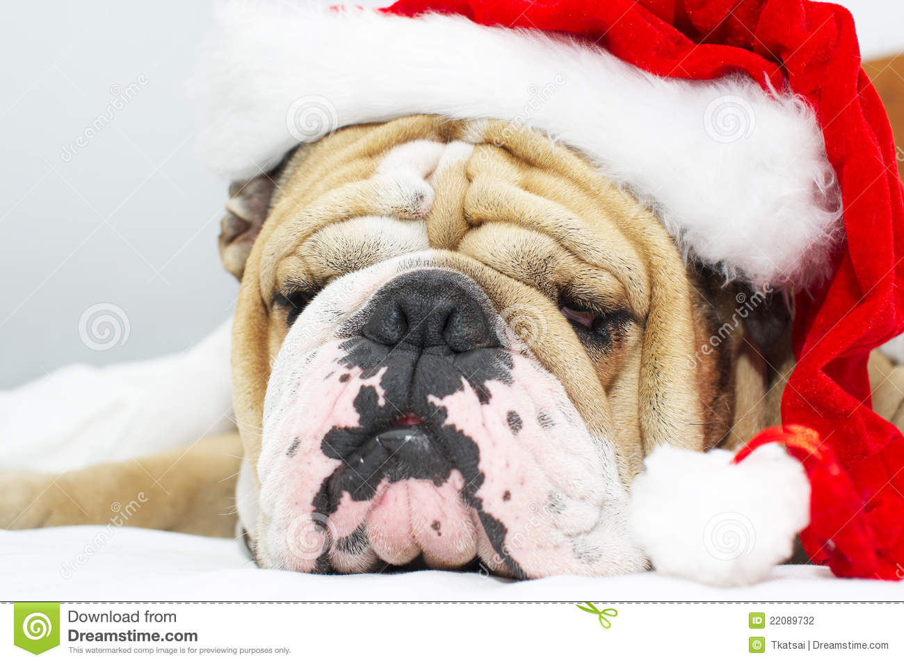 Christmas Bulldog in a hat stock photo. Image of claus - 22089732