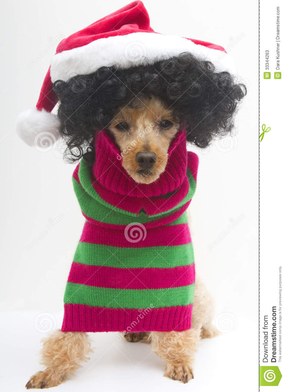 Christmas For Curly Haired Pooch Stock Photos Image