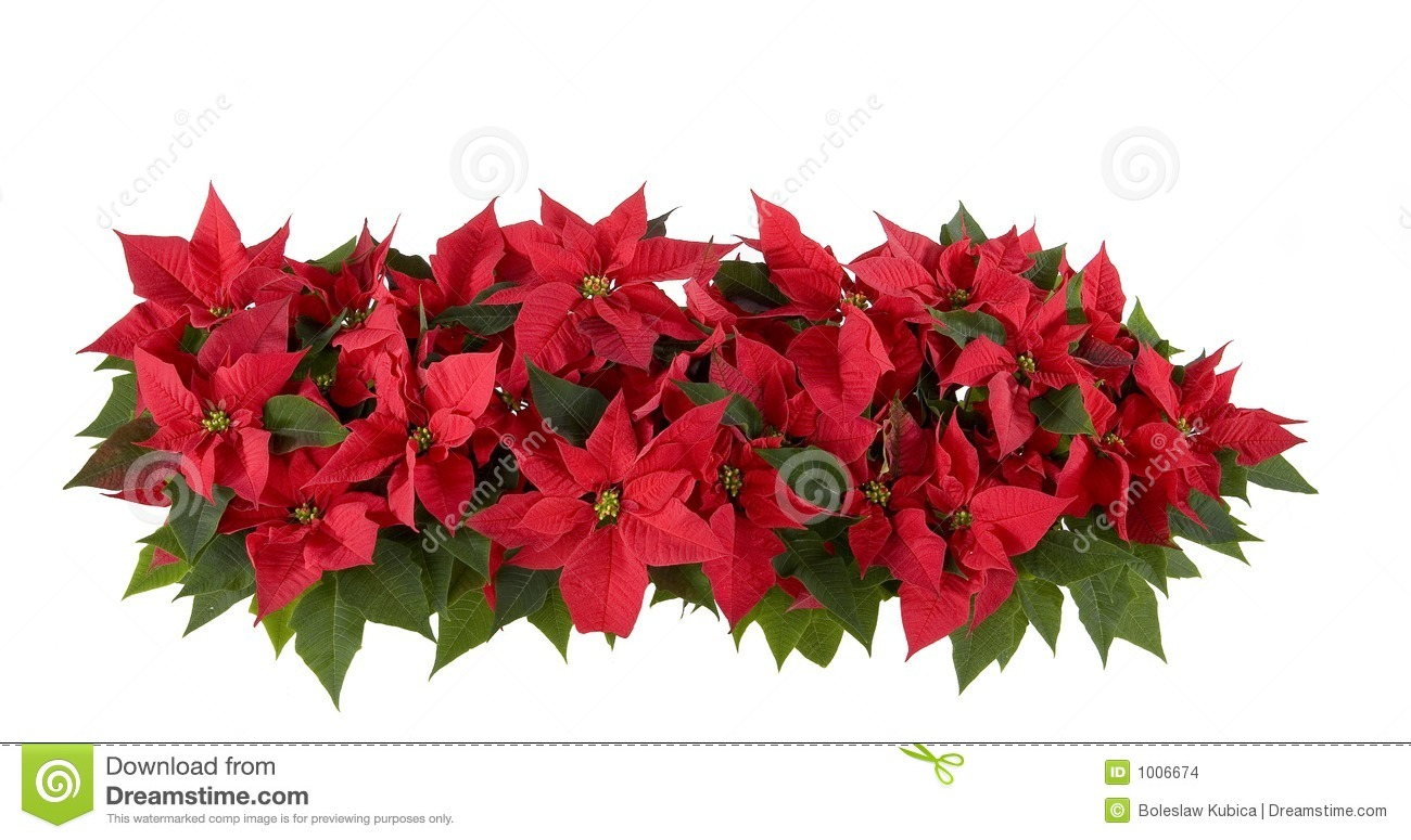 Christmas Decorations   Red Poinsettia Stock Images