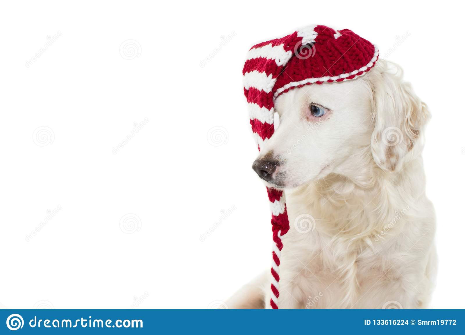 CHRISTMAS DOG BANNER. CUTE PUPPY WITH BLUE EYES WEARING A STRIPE