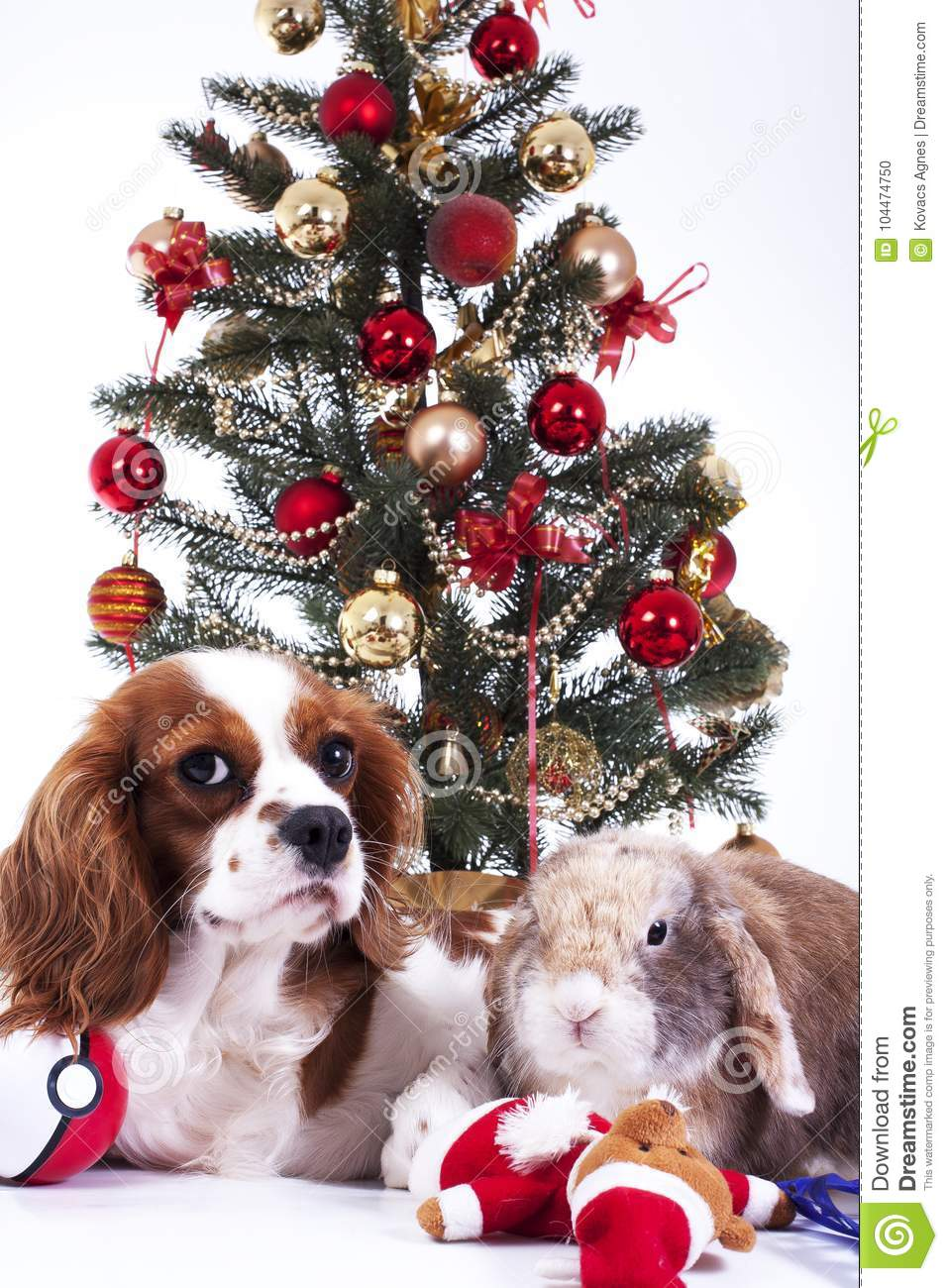 Christmas dog celebrate christmas with tree on studio. Christmas bauble ornaments glass balls and cavalier king charles