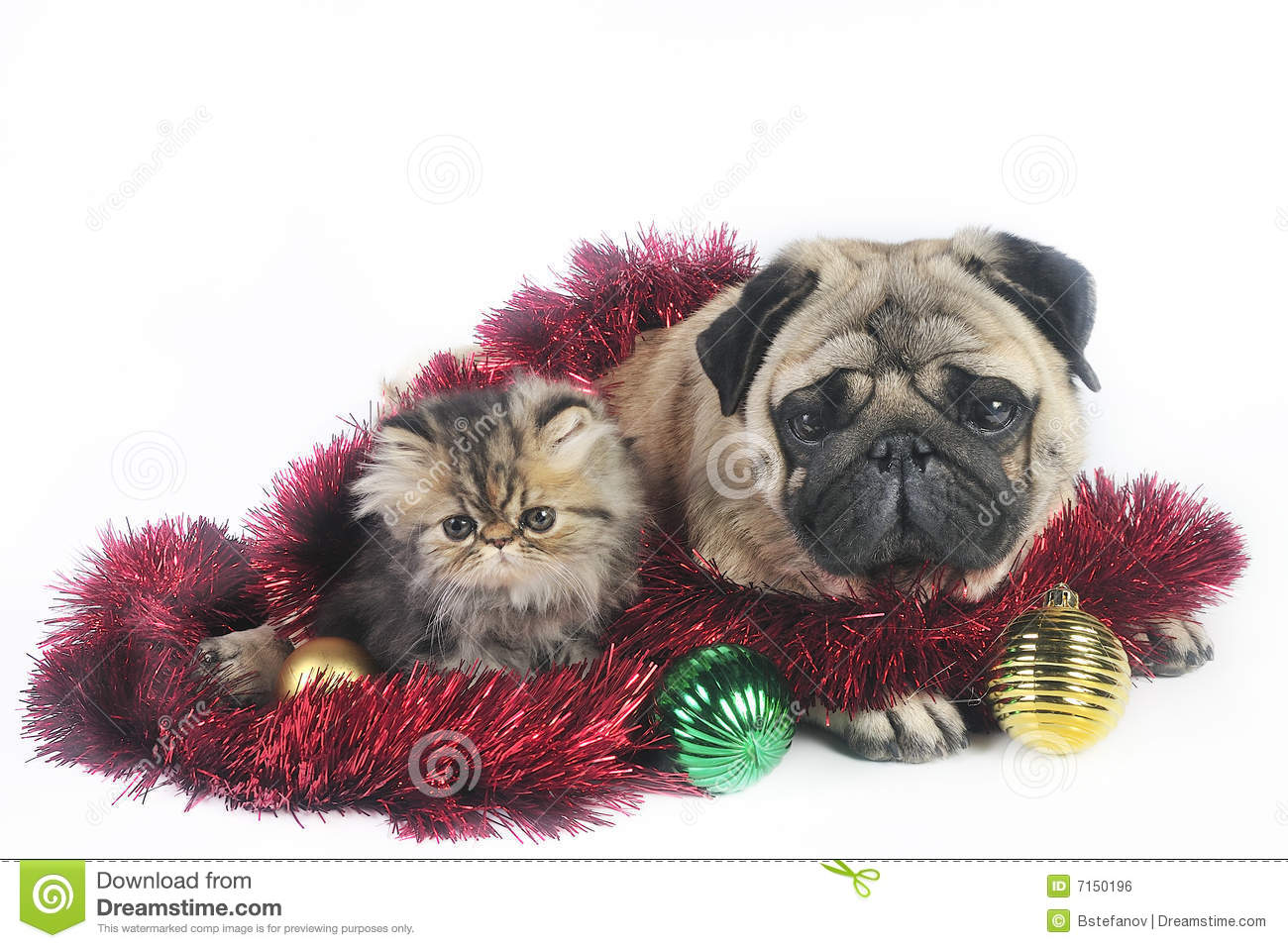 christmas dog and kittens stock photo image of fuzzy 7150196