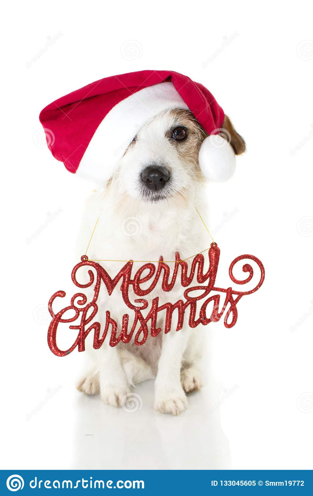Christmas Dog Portrait Funny Jack Russell Puppy Wearing Red San