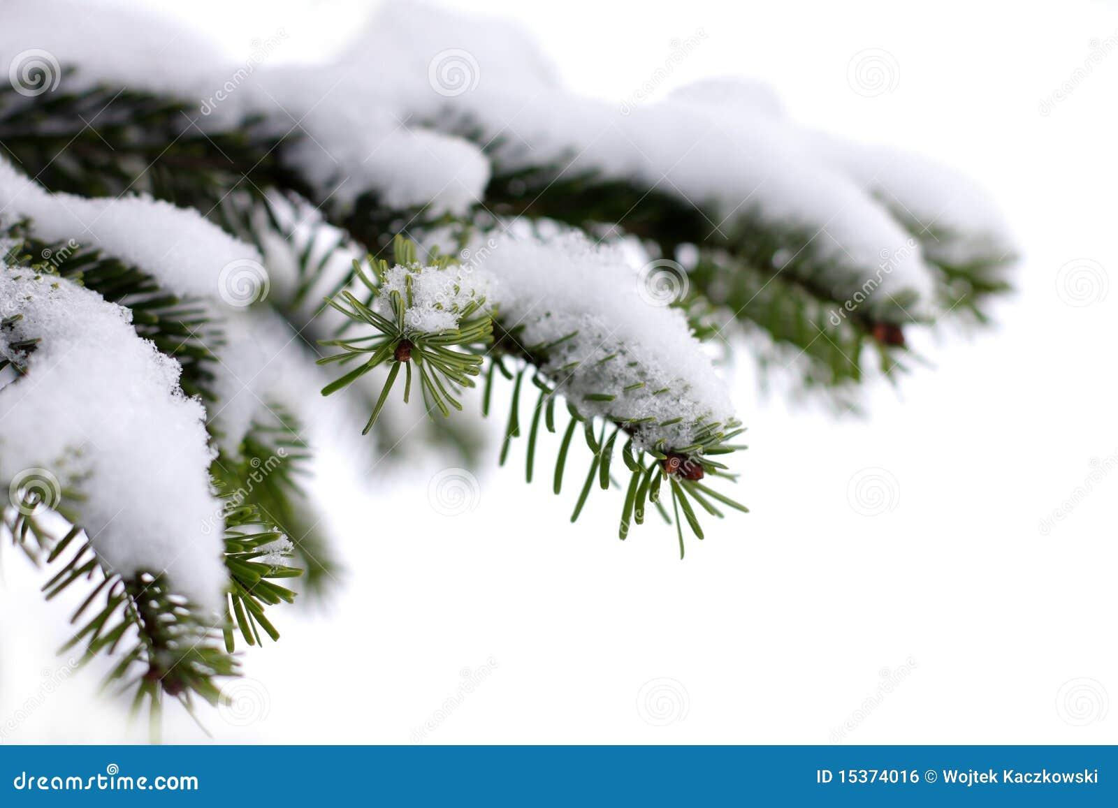 christmas evergreen spruce tree - photo #32