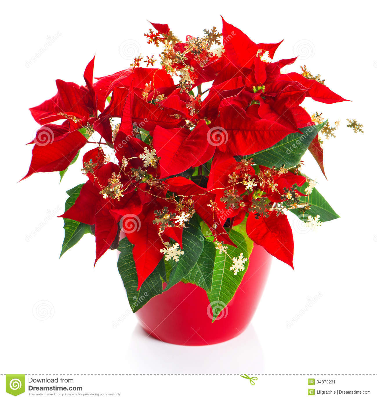 Christmas flower red poinsettia with golden decoration