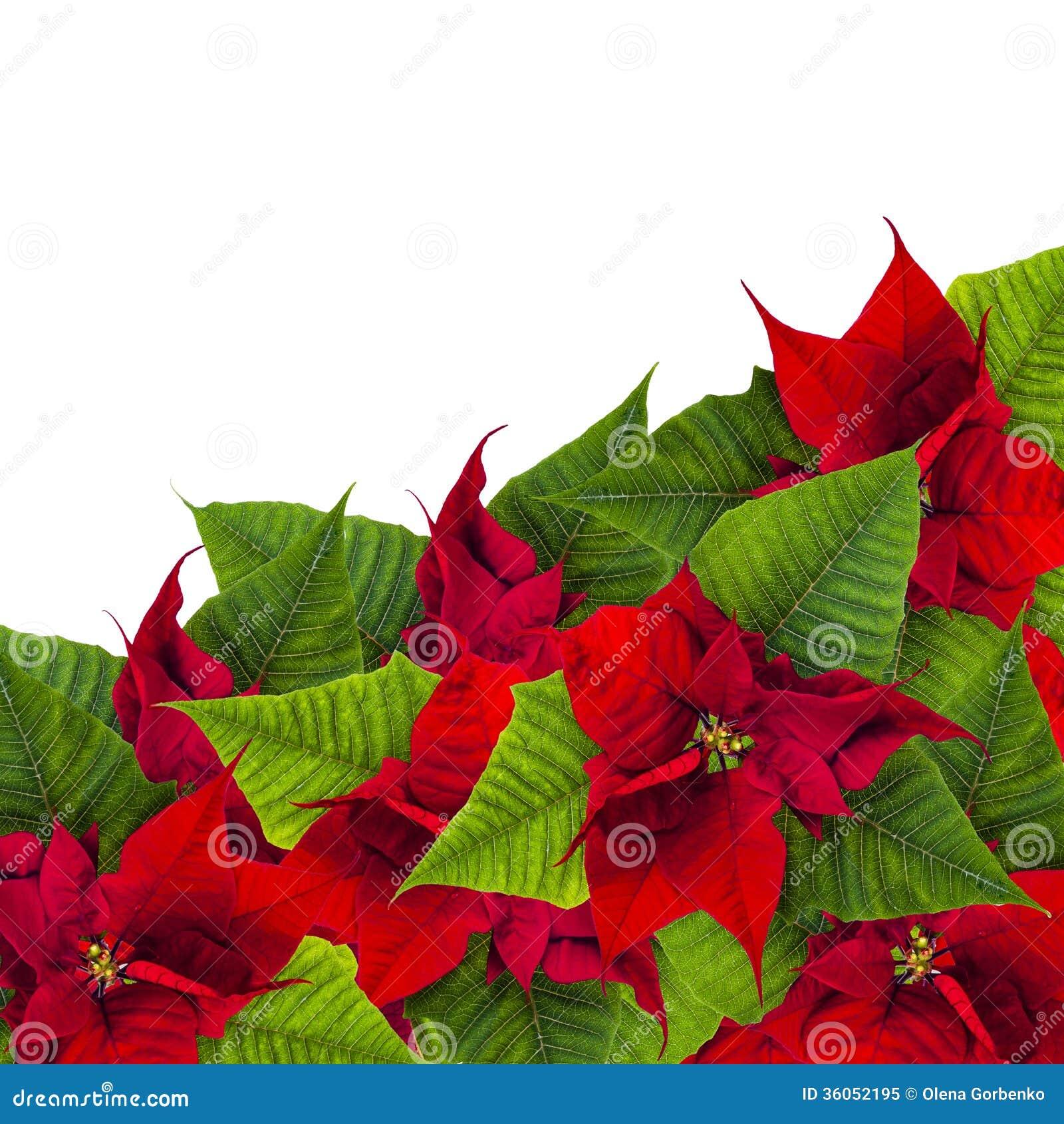 Christmas frame from poinsettia flowers biur on white for Poinsettia christmas tree frame