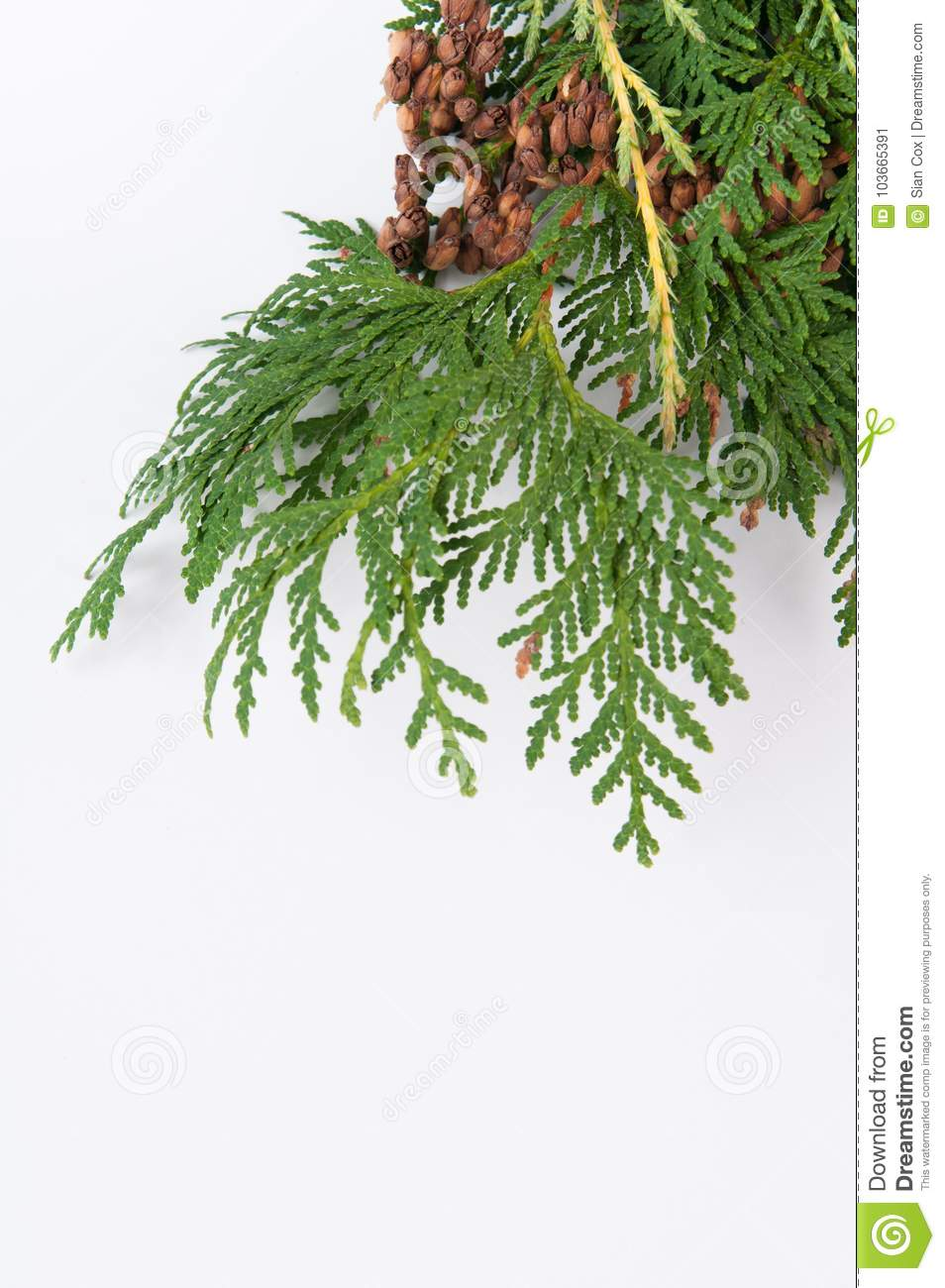 Christmas Greenery Images.Christmas Greenery On A White Background With Copy Space