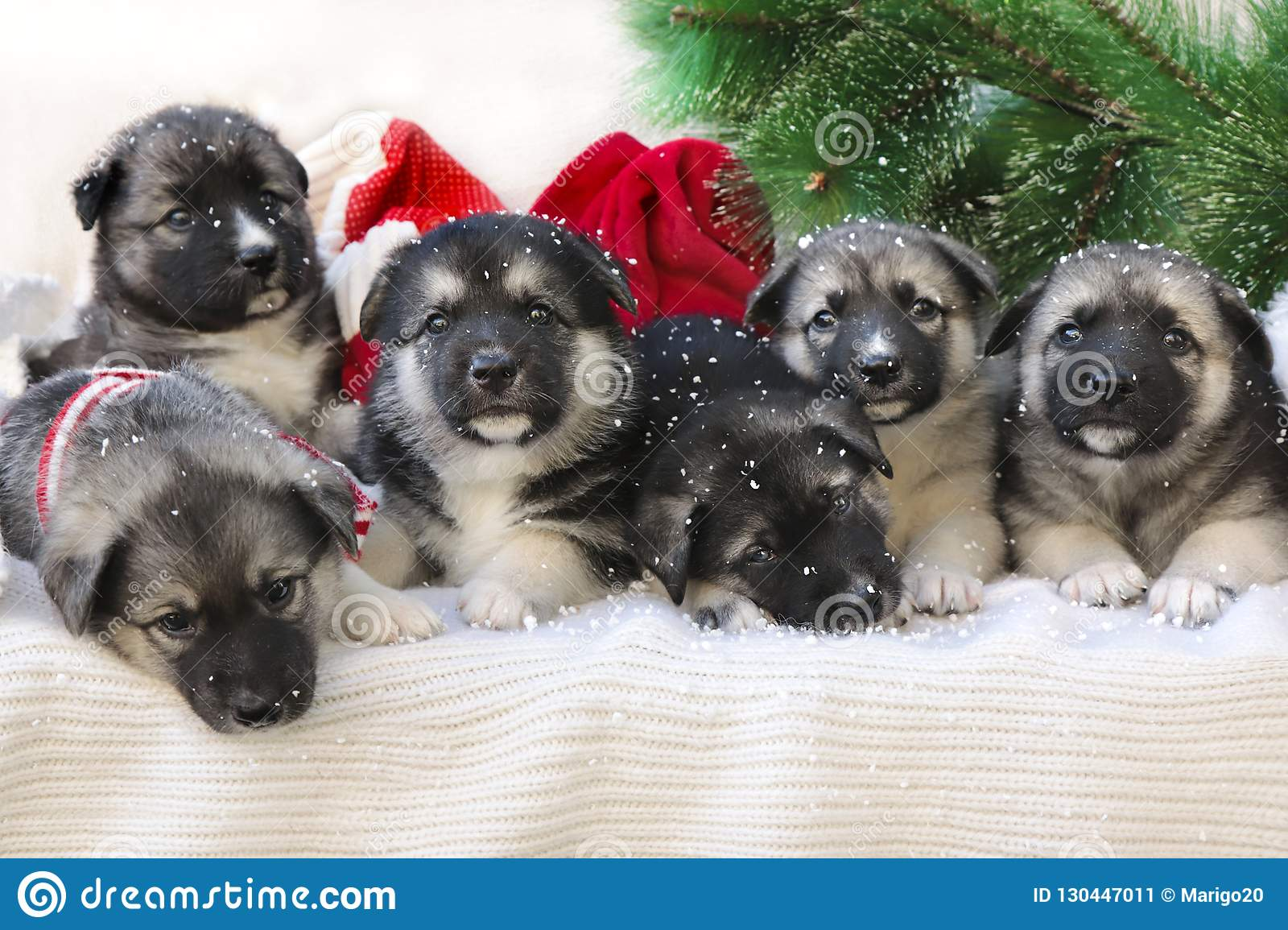 Cute Christmas Puppies.Christmas Group Of Cute Little Puppies Stock Image Image
