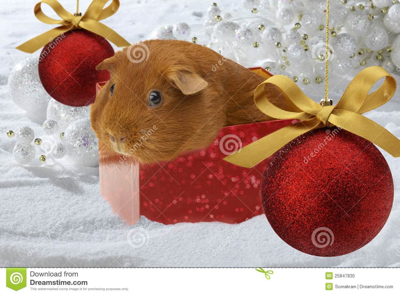 Christmas Guinea Pig Stock Photos, Images, & Pictures - 122 Images