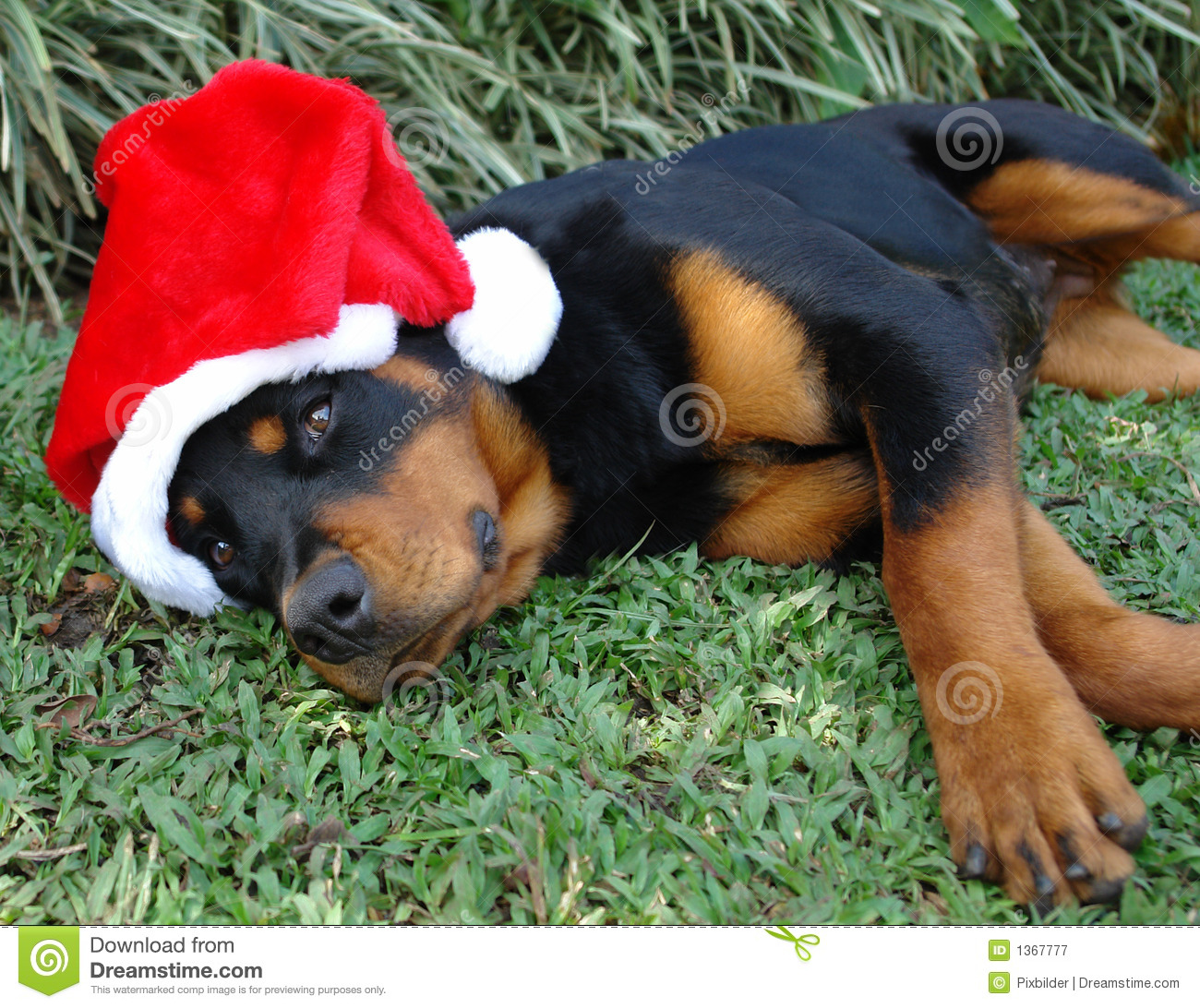Stock Christmas Card Rottweiler Puppy Pictures | www.picturesboss.com