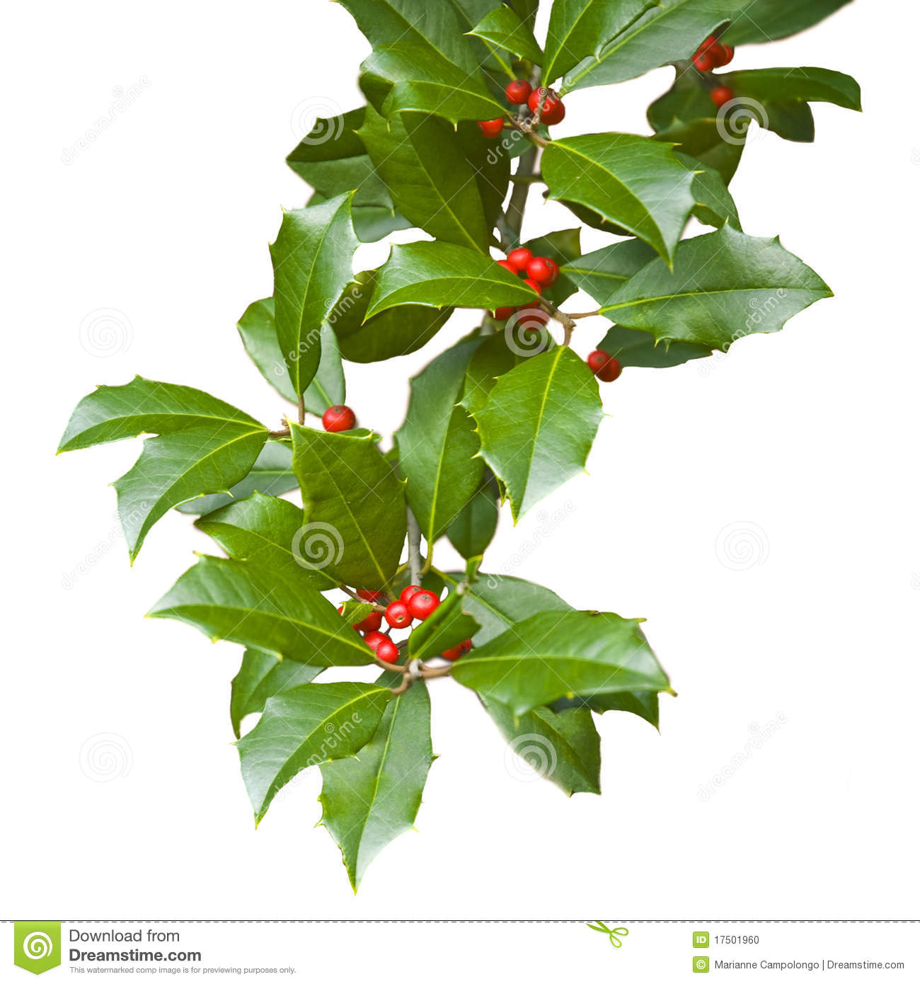 Christmas holly branch isolated on white