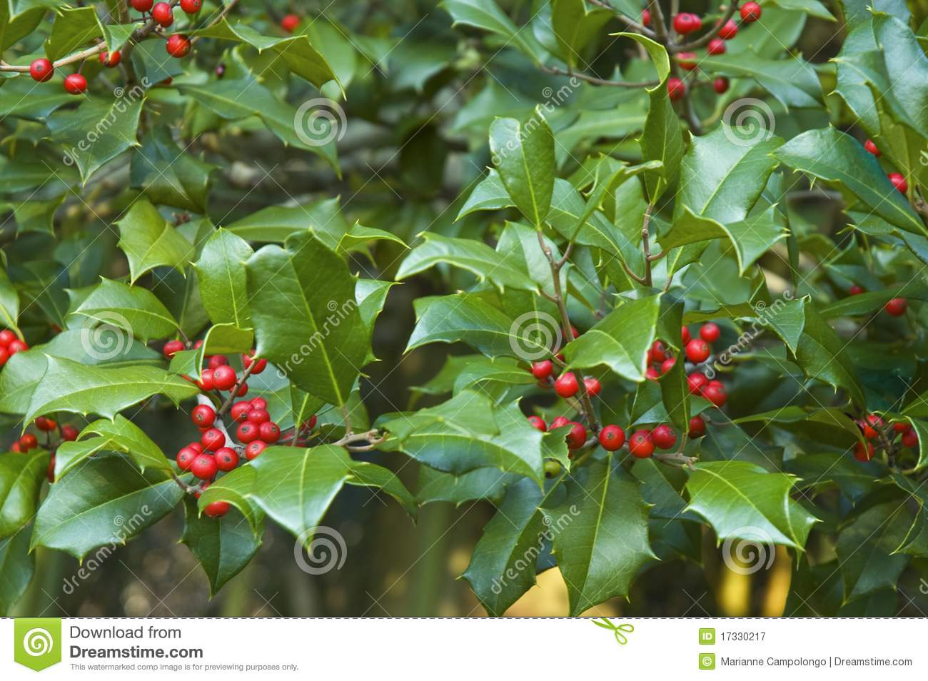 holly branches on american holly tree ilex opaca with green leaves ...