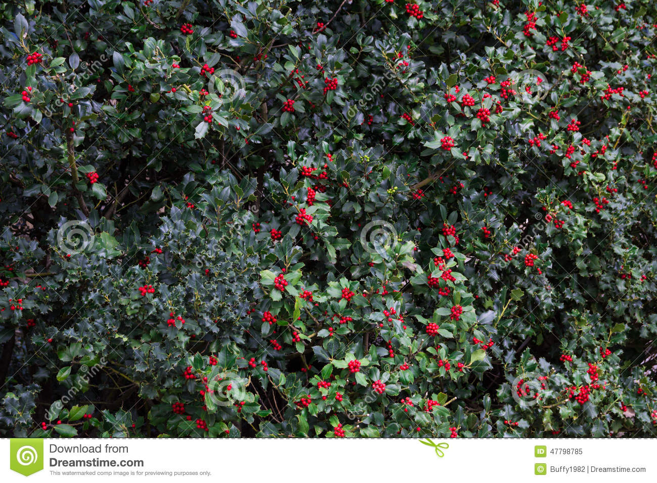 Christmas Holly Branches Background Wallpaper Stock Photo
