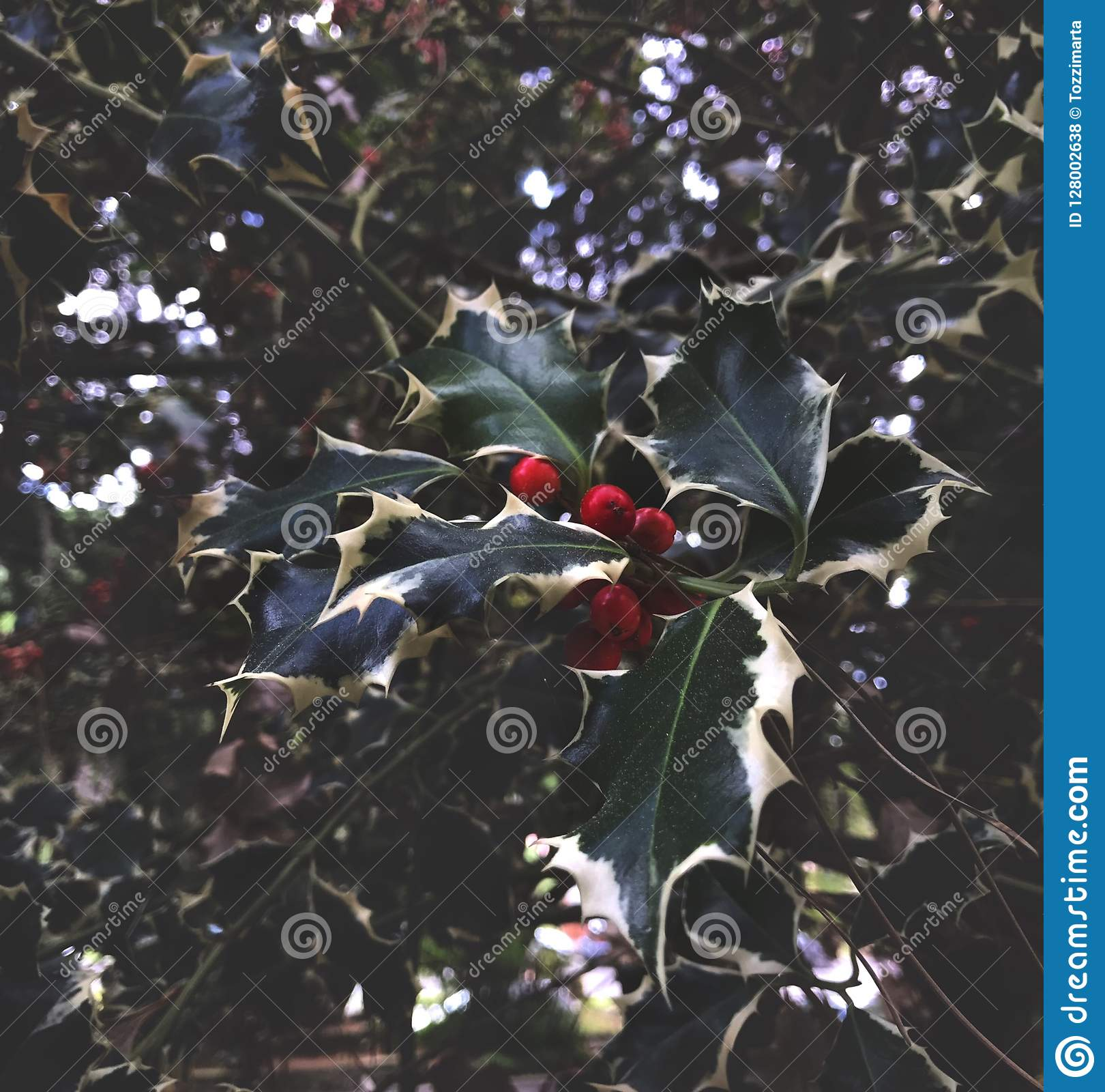 Christmas Holly, Green Leaves, Red Fruit Stock Photo - Image